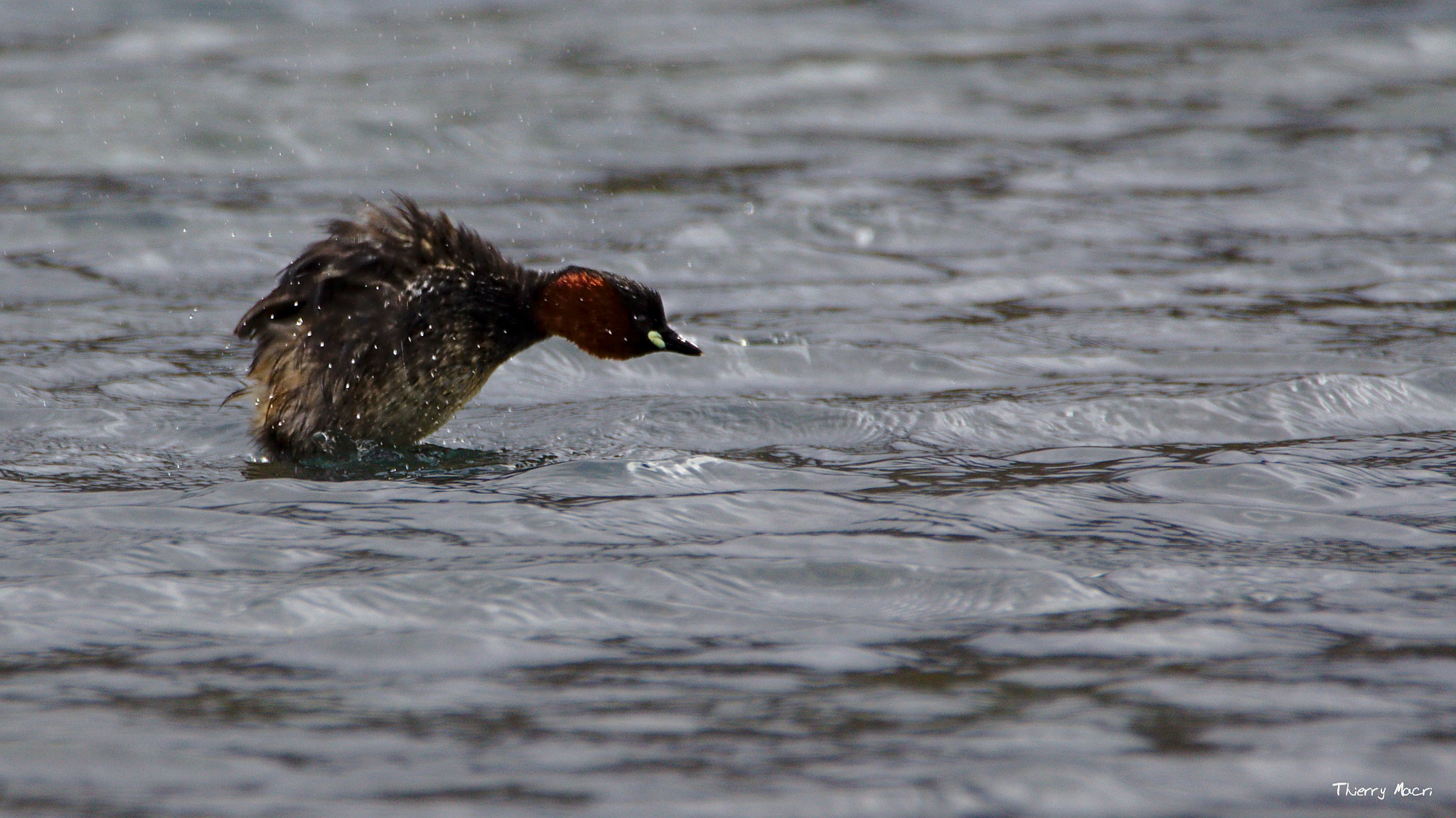 grebe castagneux by MacRain