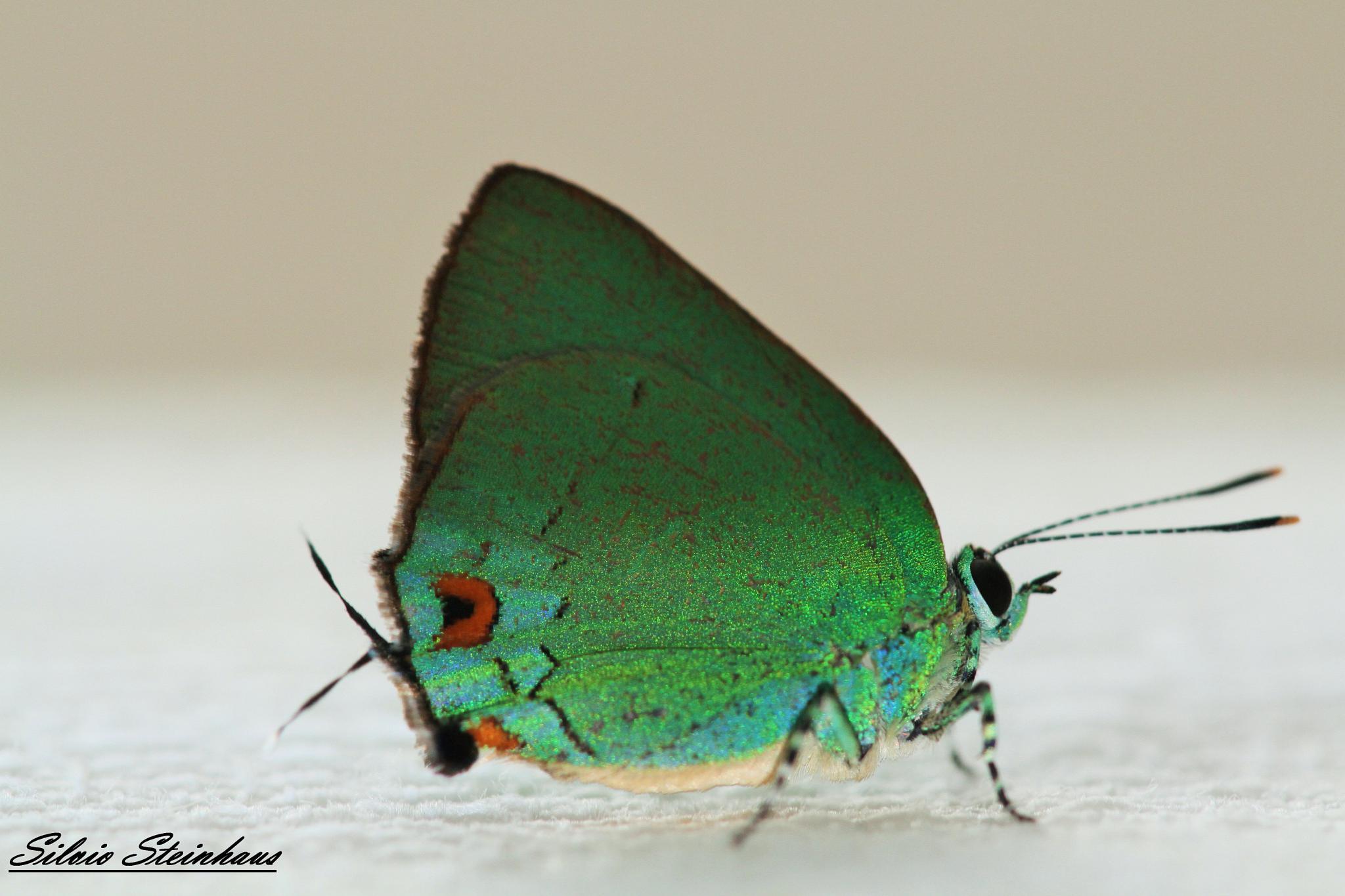 Butterfly by silviosteinhaus