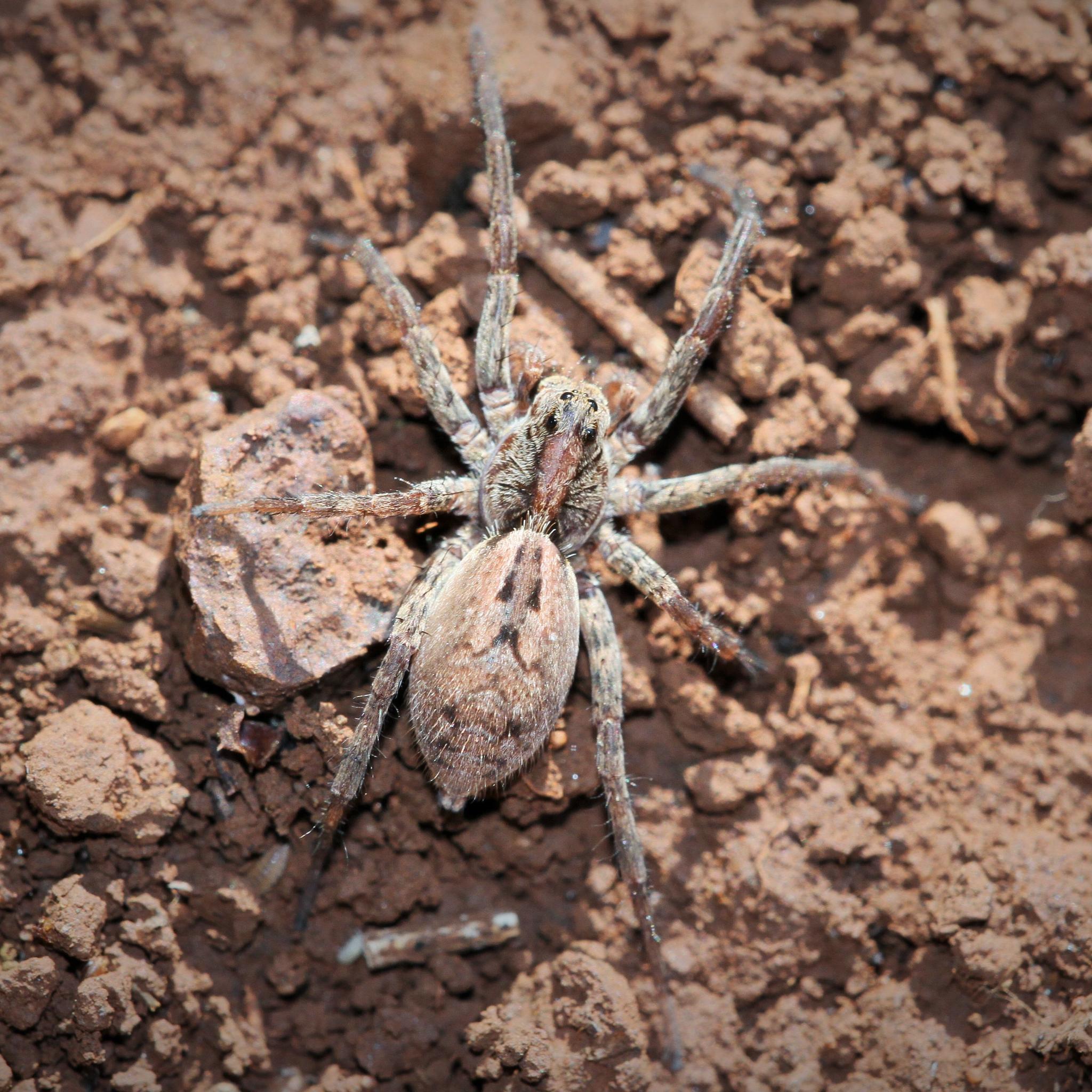 Spider by silviosteinhaus