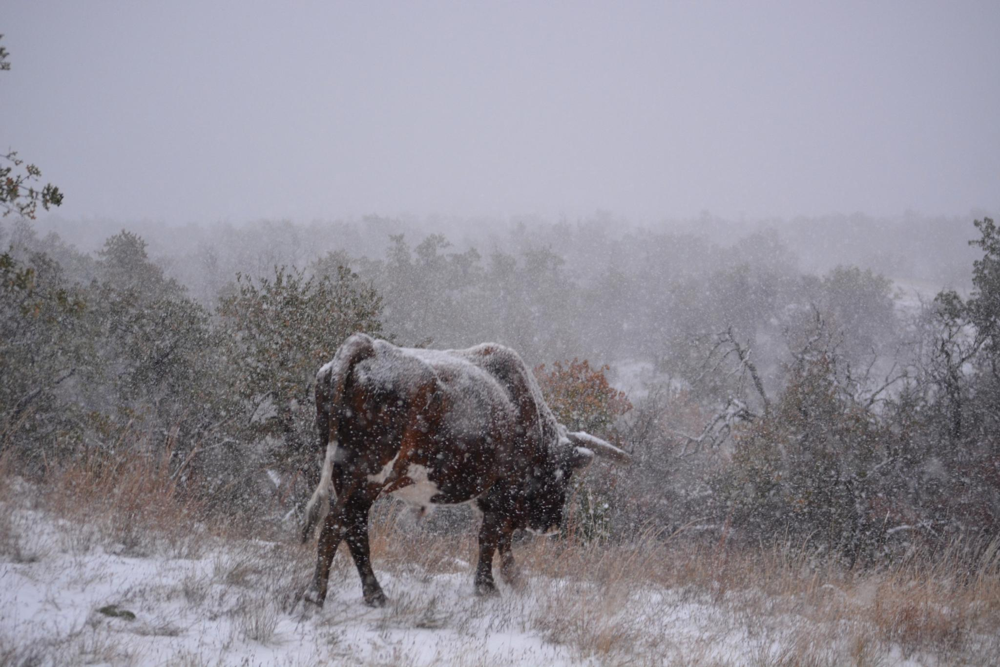 Longhorn in the snow.. by roughneck1-9