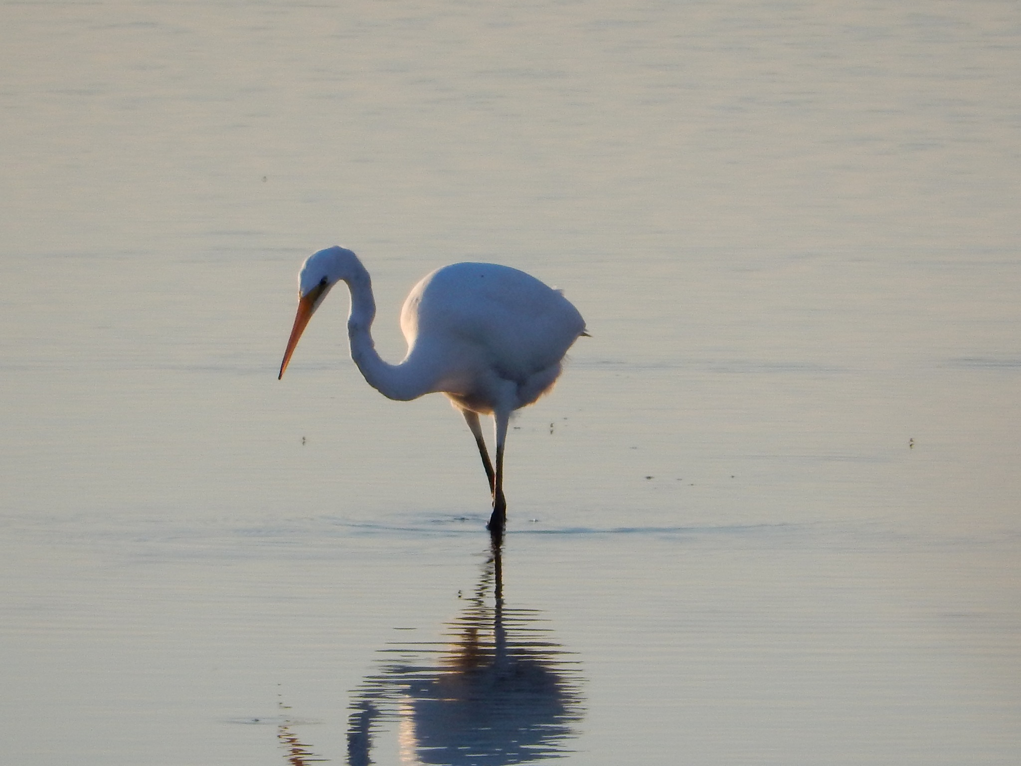 Fishing Egret by roughneck1-9