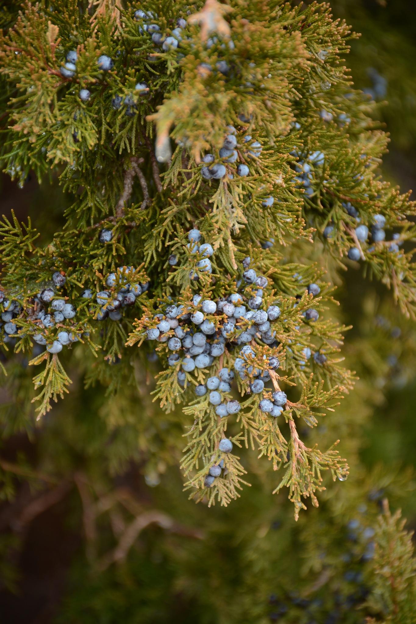 juniper by roughneck1-9
