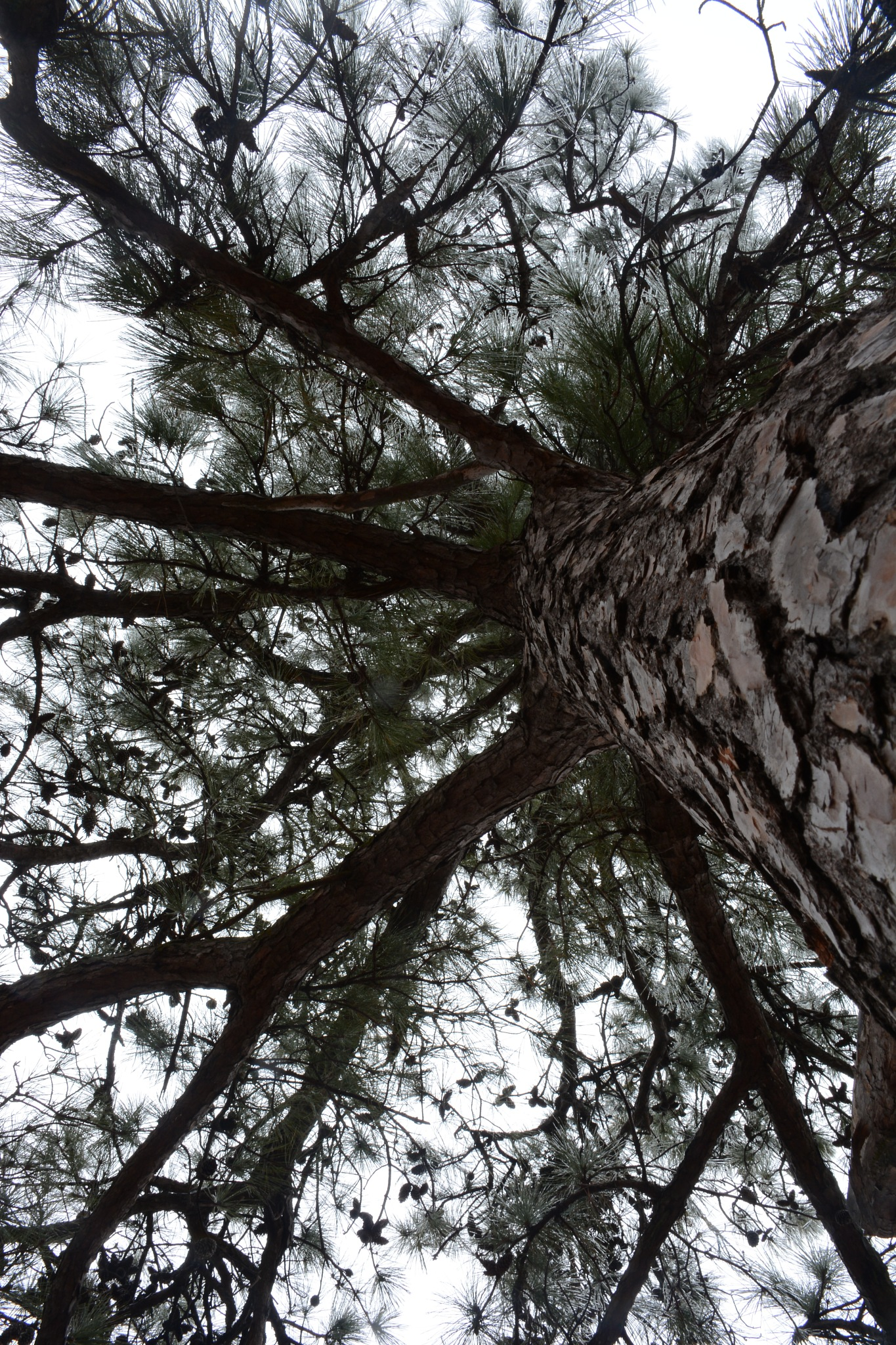 pine tree by roughneck1-9