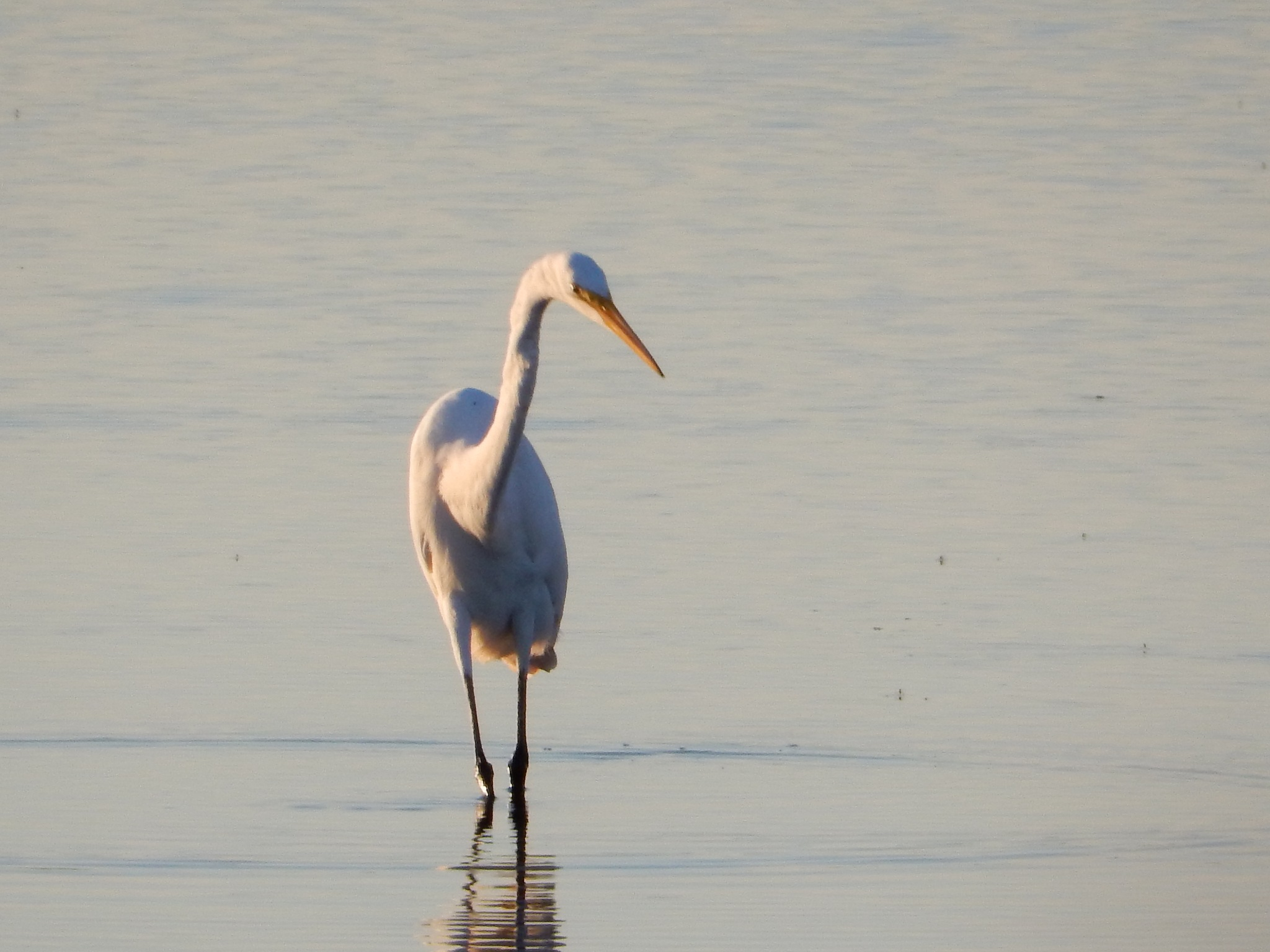Hunting Egret by roughneck1-9