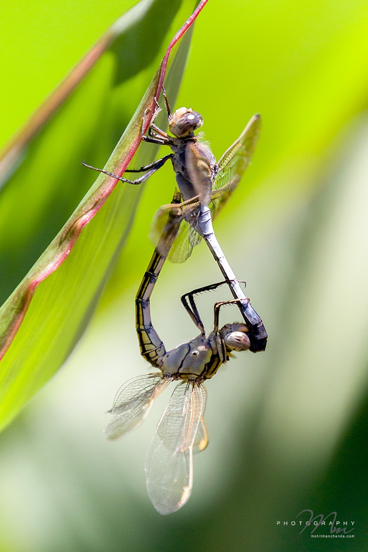 Dragonflies mating by Mohit Manchanda Photography