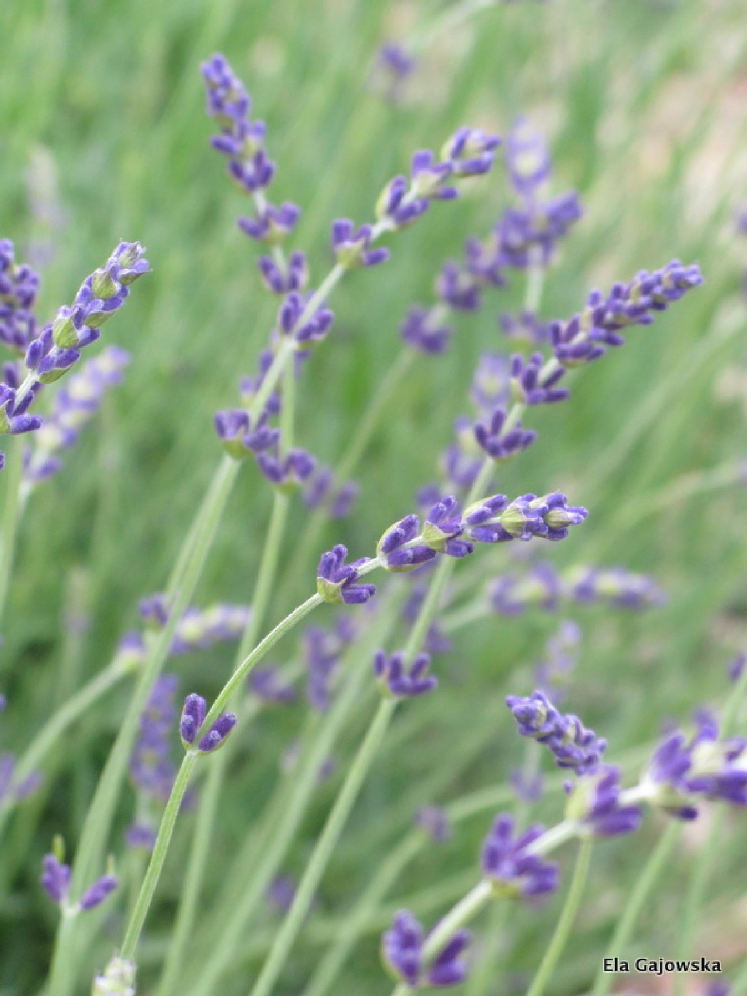 The beginning of lavender season by Ela Gajowska