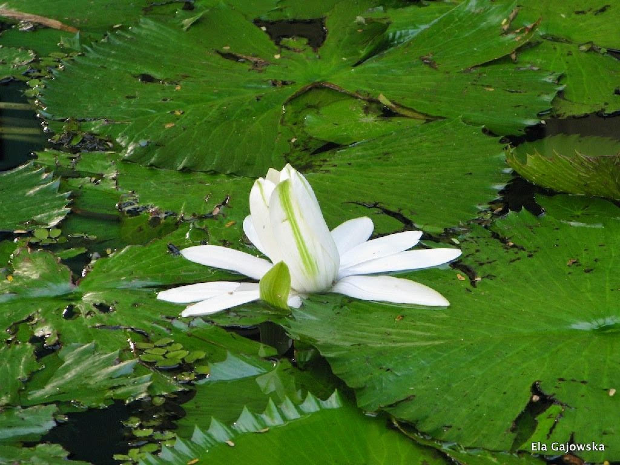 White lotus by Ela Gajowska