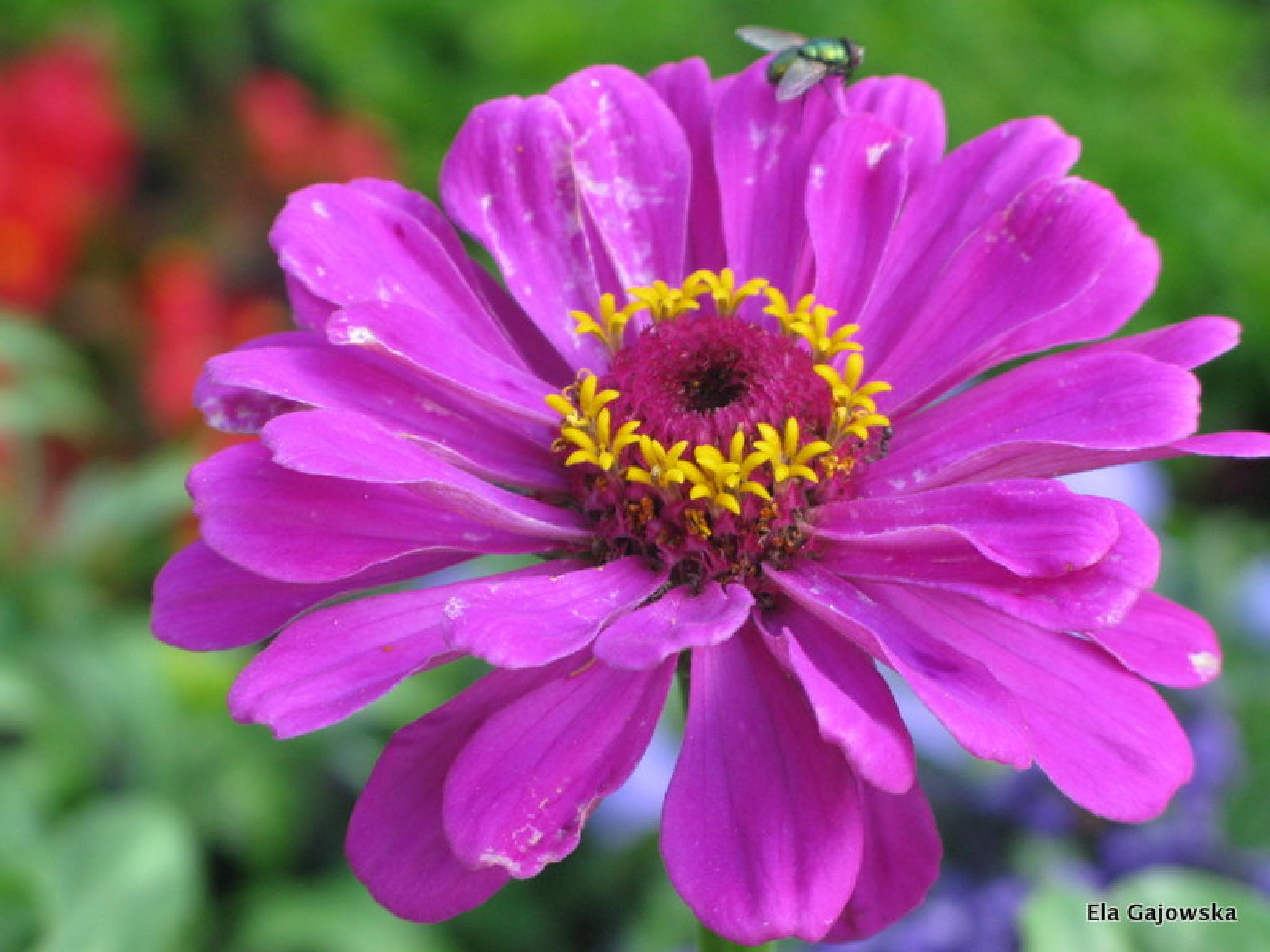 Photo in Nature #zinnia #fly #cynia #mucha