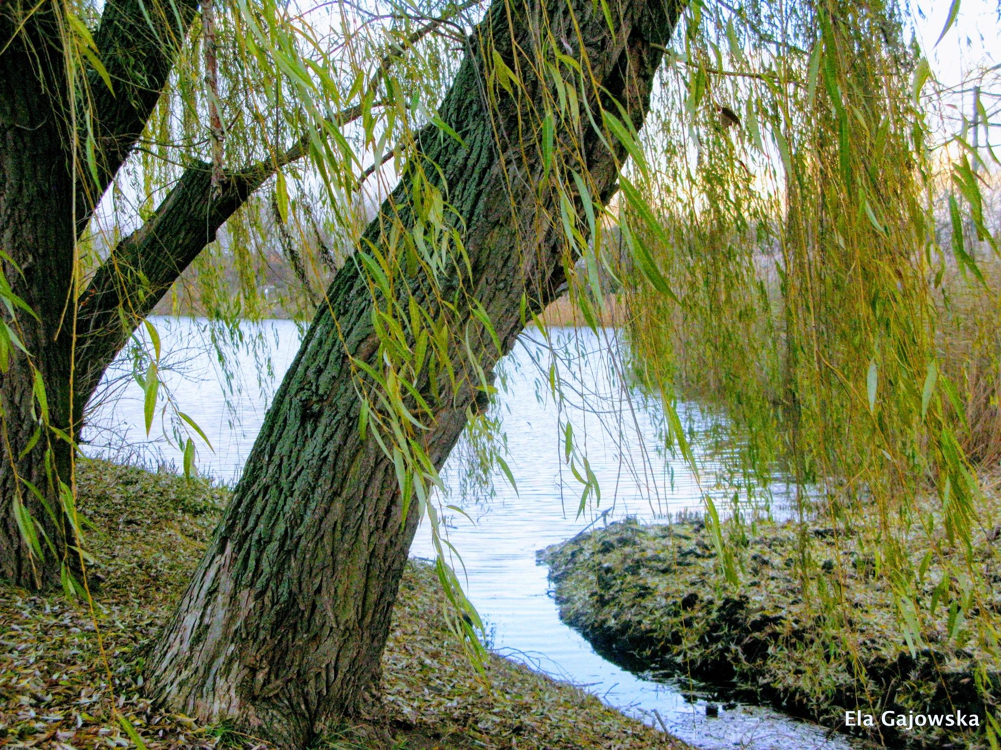 Weeping willow by Ela Gajowska