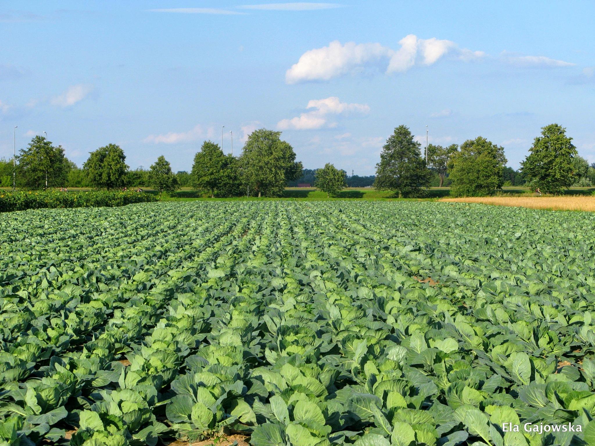 Cabbage field by Ela Gajowska