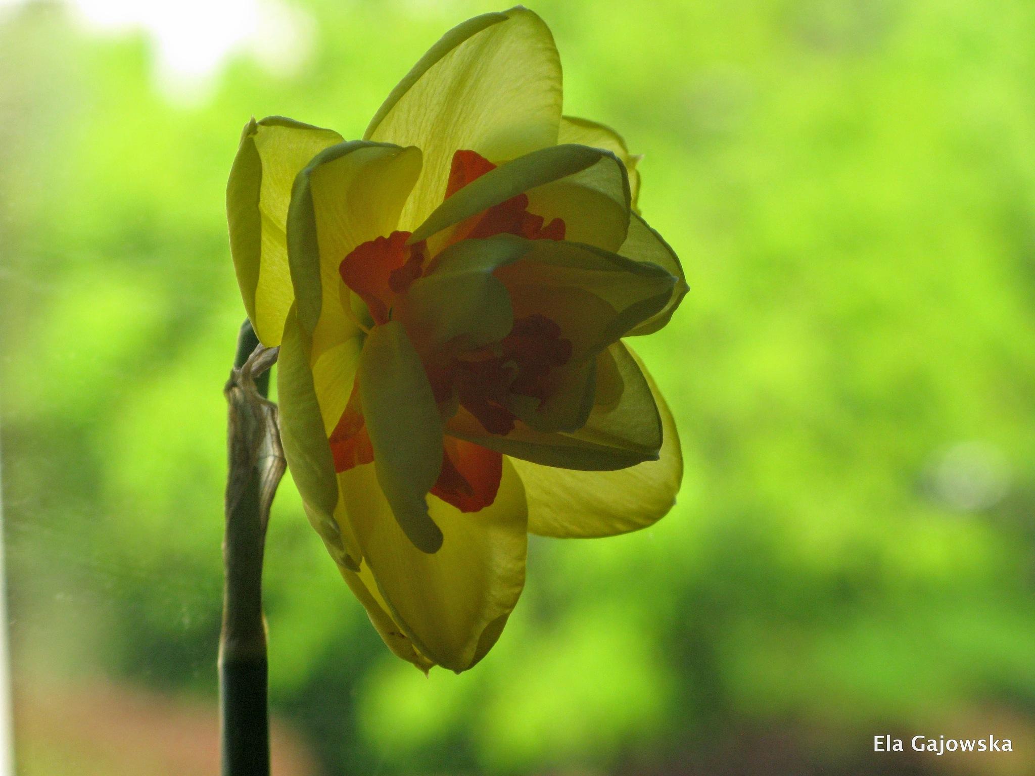 A spring flower by Ela Gajowska