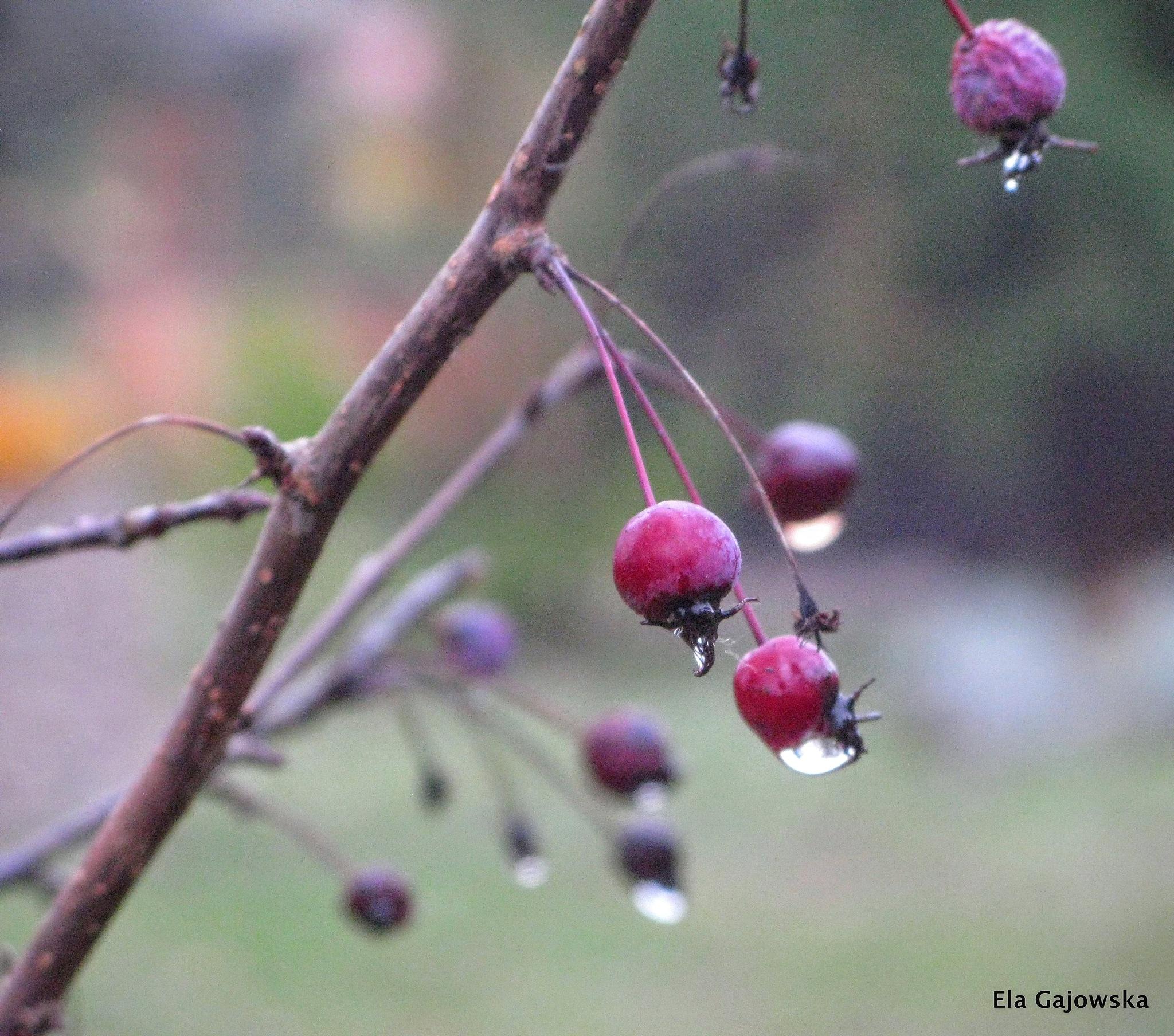 Autumn raindrops by Ela Gajowska