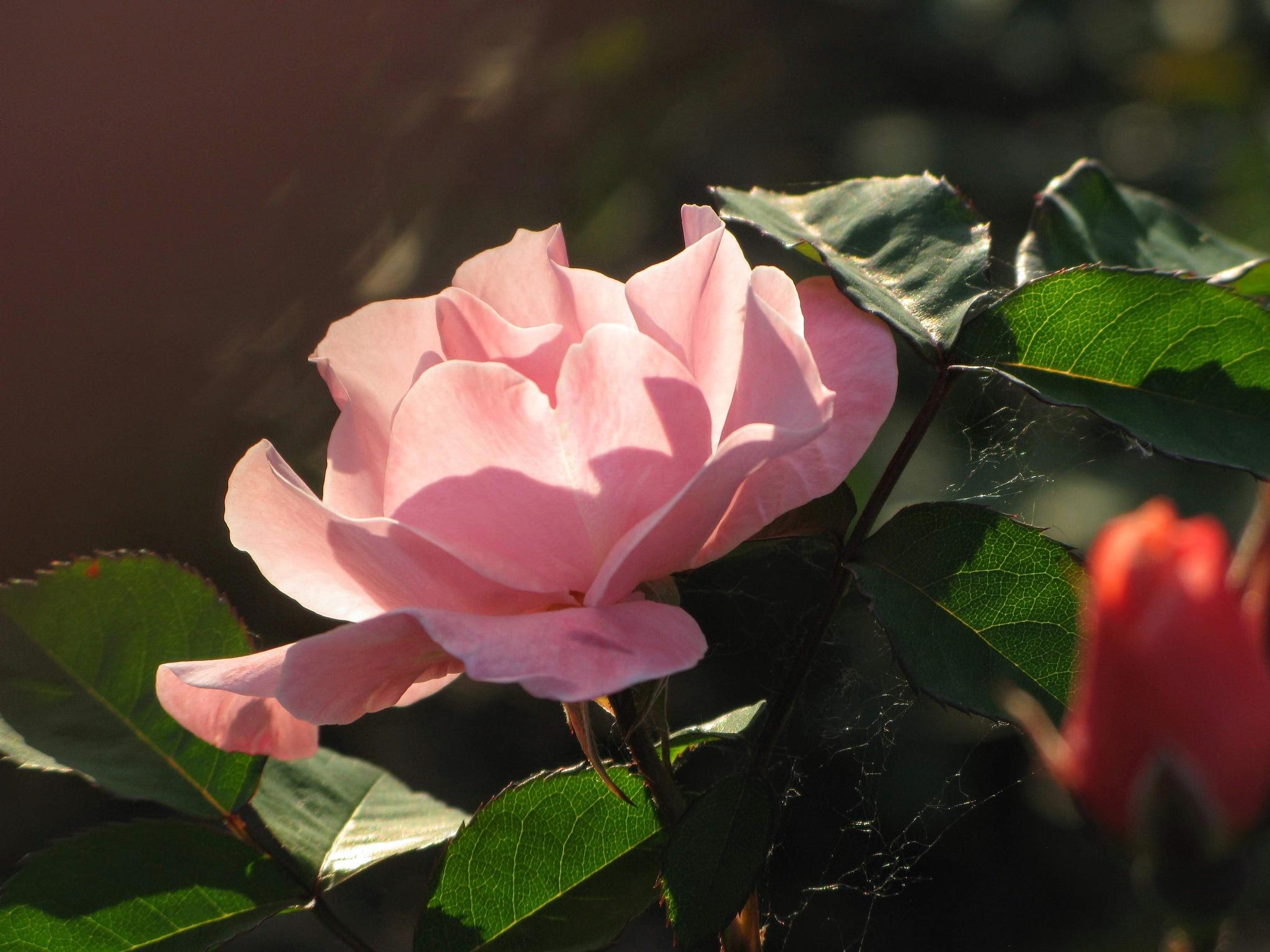 In the rose garden 3 by Ela Gajowska