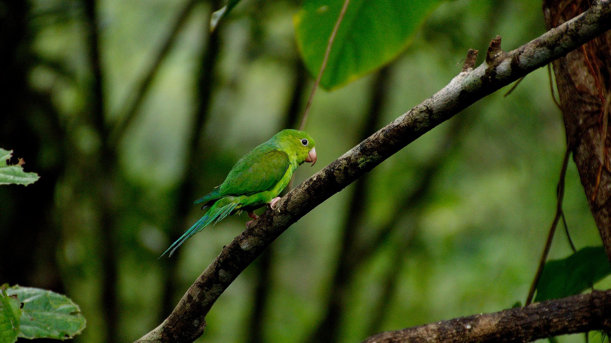 Periquito verde by WSimone