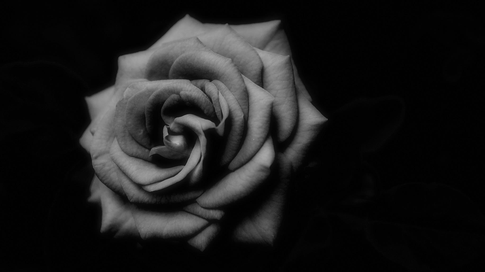 Rosa by WSimone