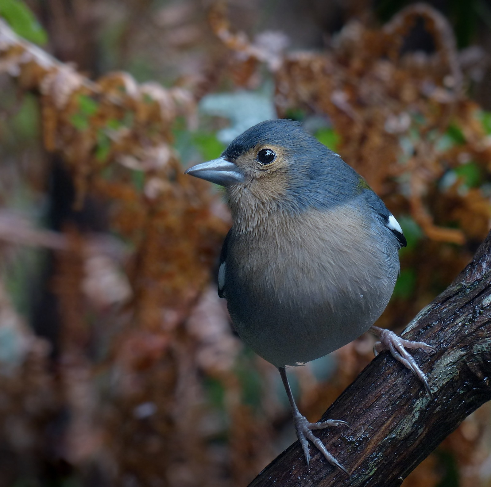 The chaffinch by kaskap444
