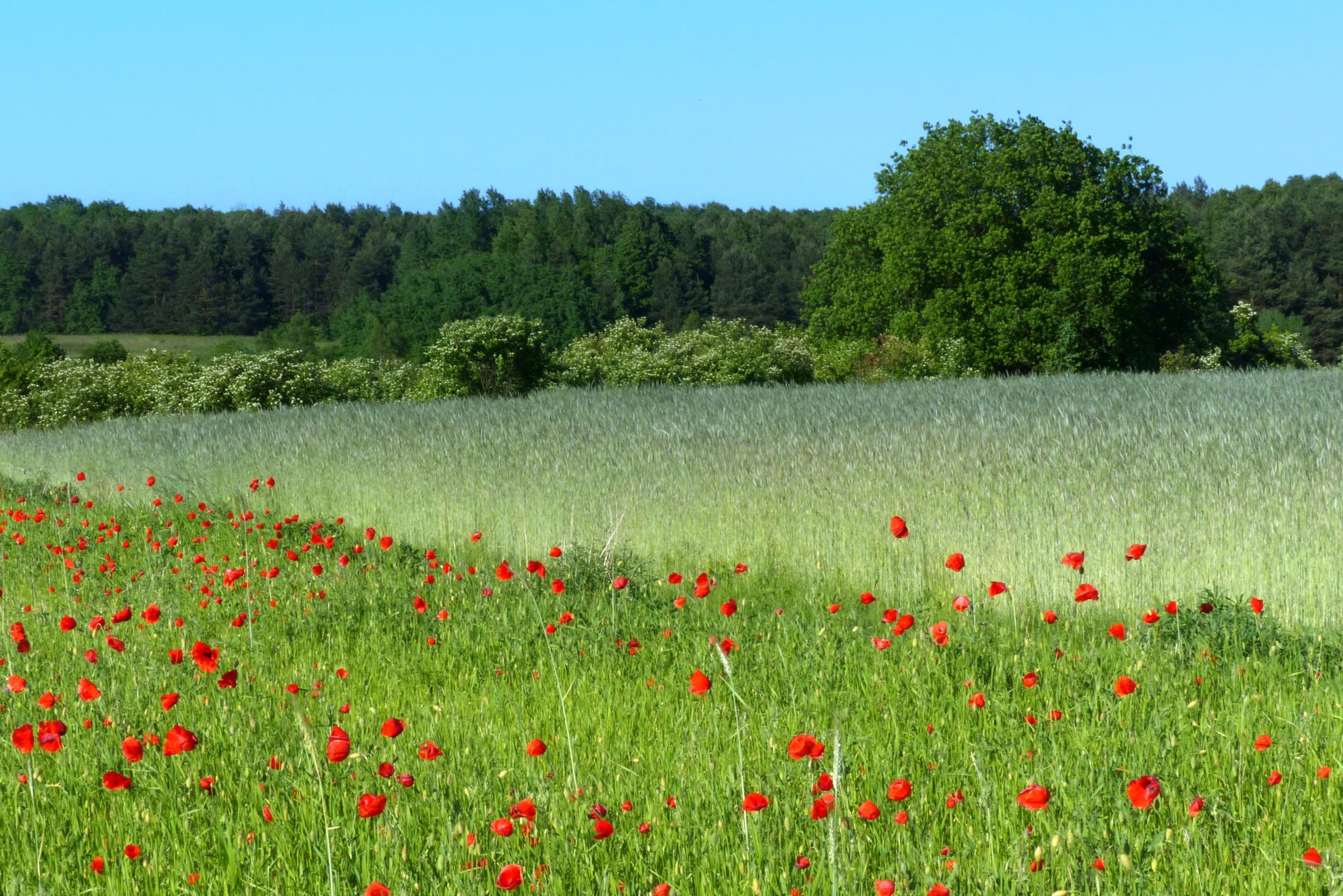 Landscape with poppies by kaskap444