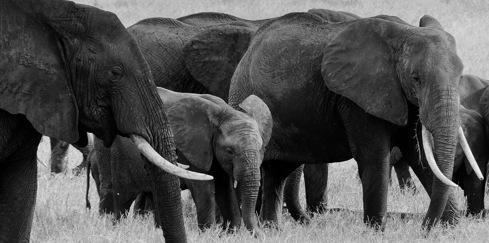 Elephants by kaskap444