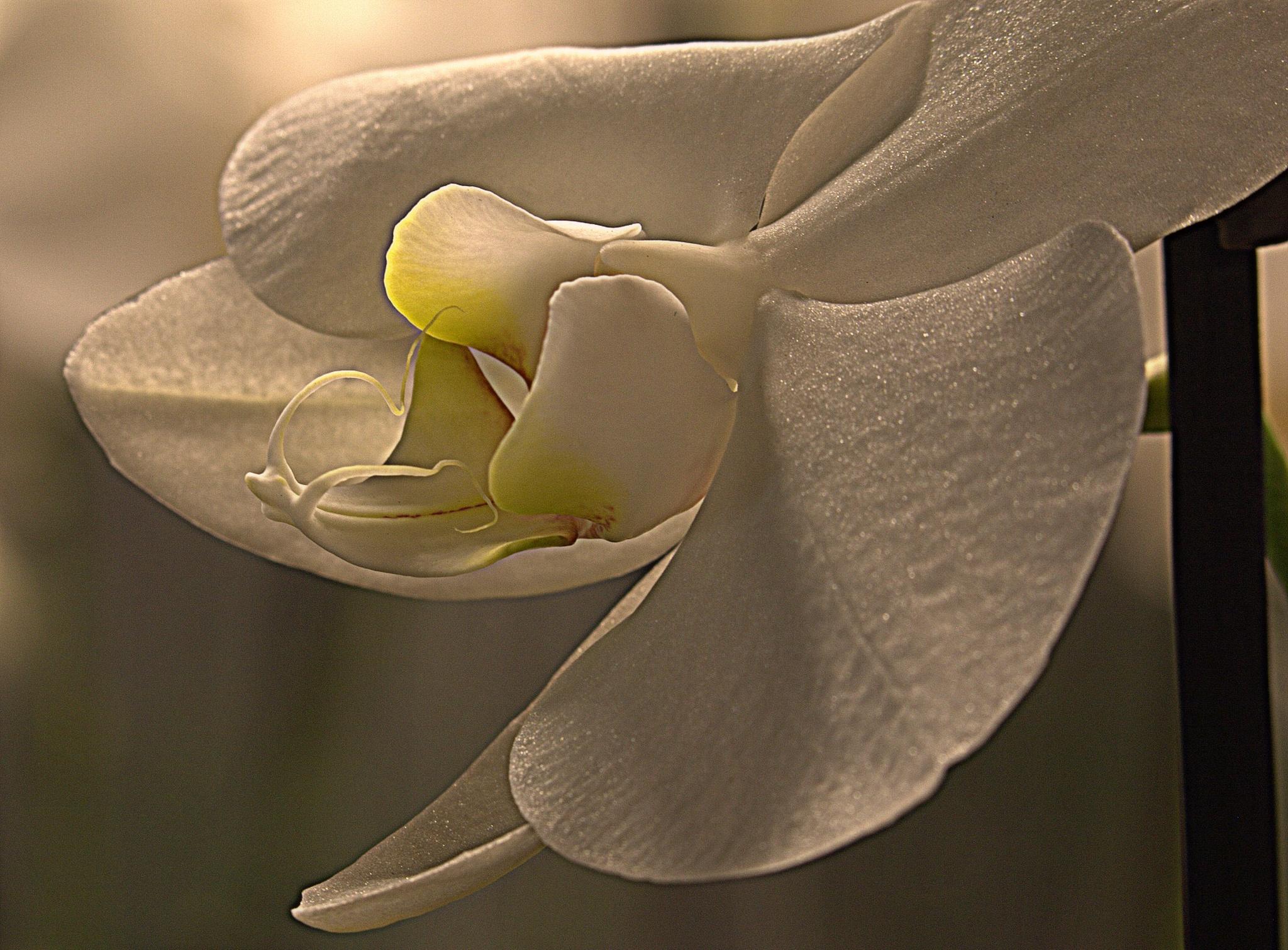 Orchidee by Jan Noorloos