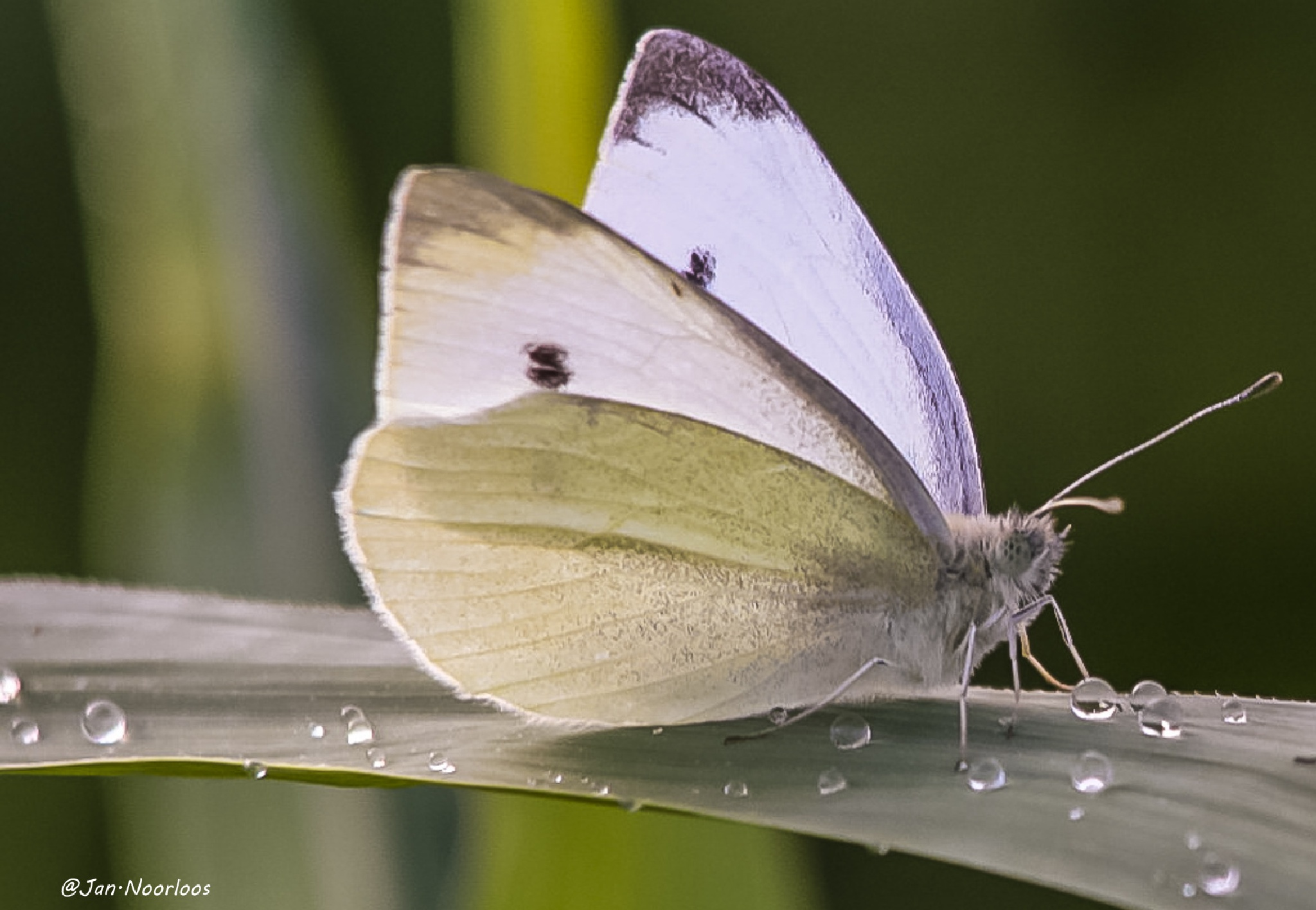 Kleine Vos vlinder by Jan Noorloos