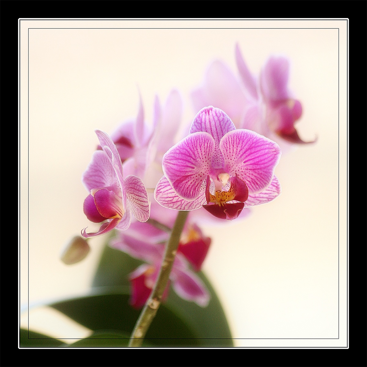Orchid... by graham.stewart