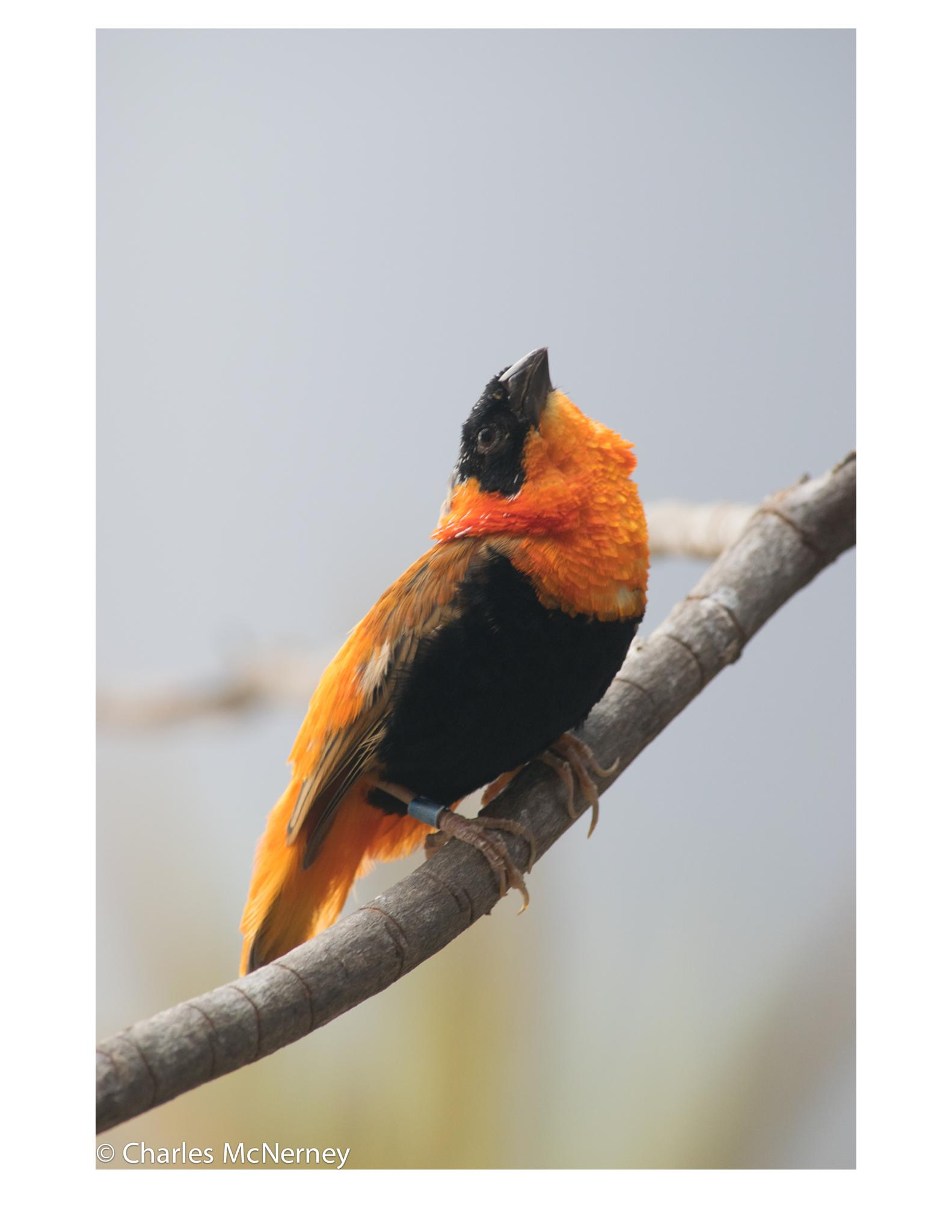 Black and Orange Finch by Charles D McNerney