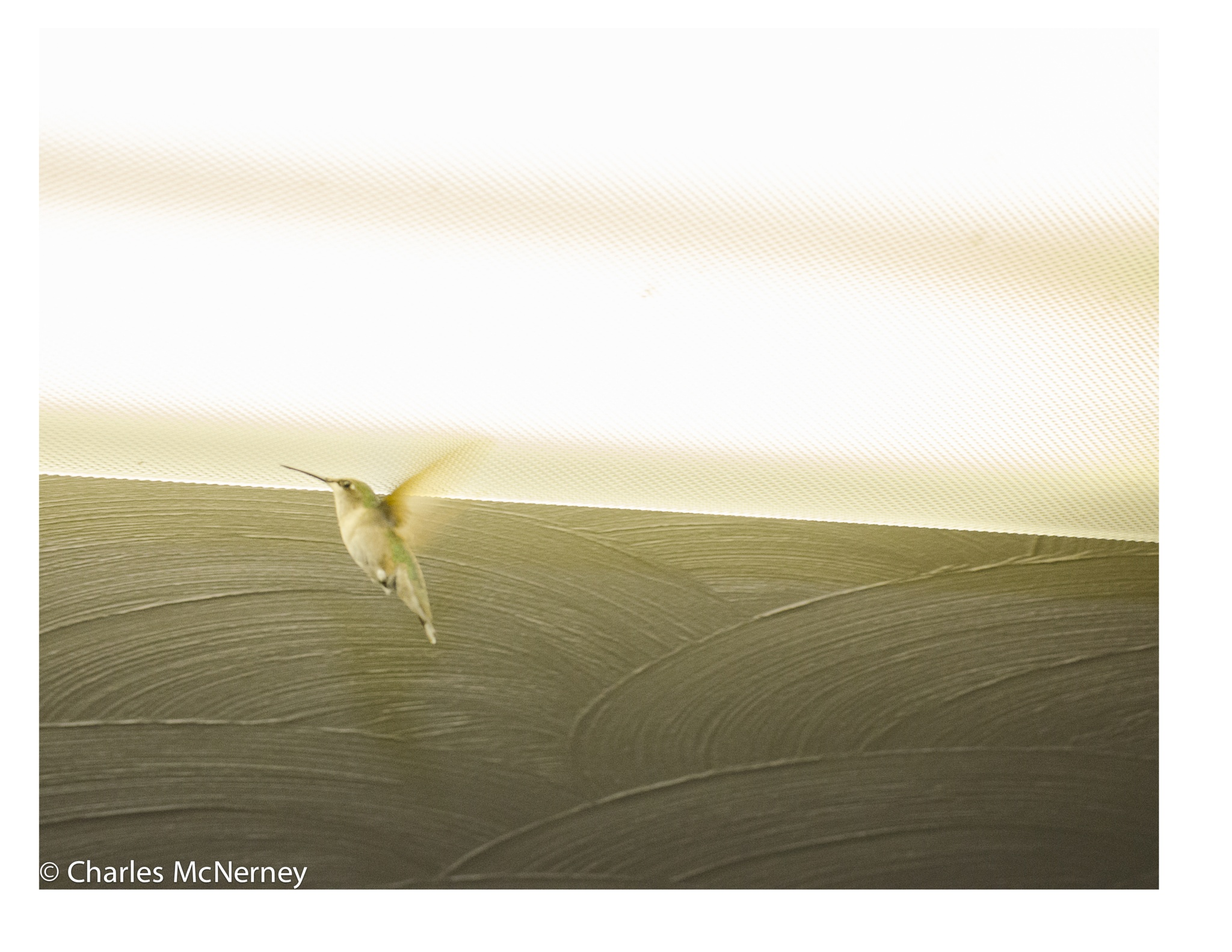 Hummingbird takes flight by Charles D McNerney