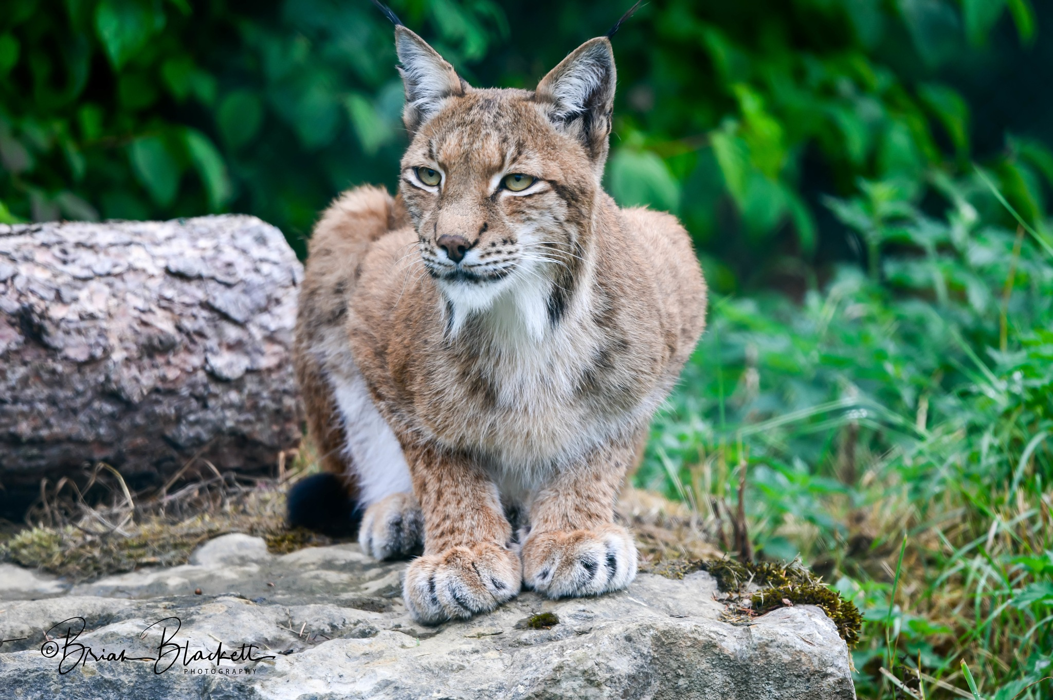 Lynx. by brianblackett