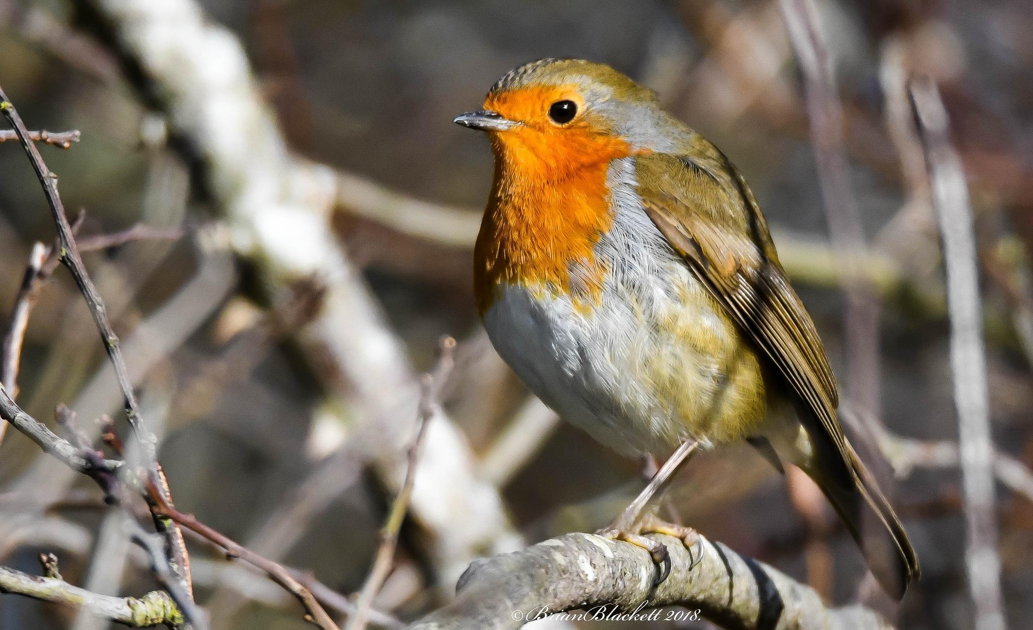 Robin. by brianblackett