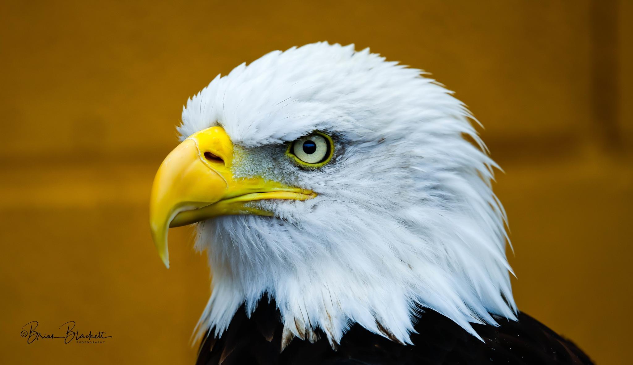Bald Eagle. by brianblackett