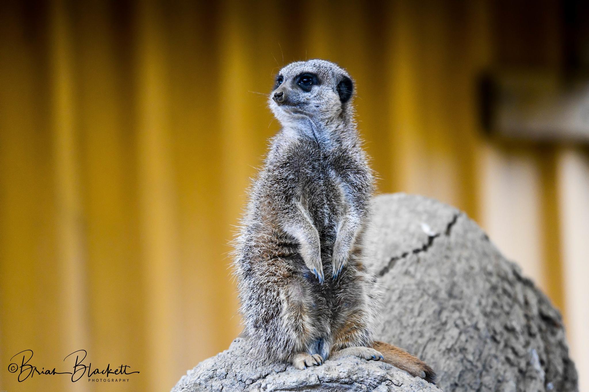 Meerkat. by brianblackett