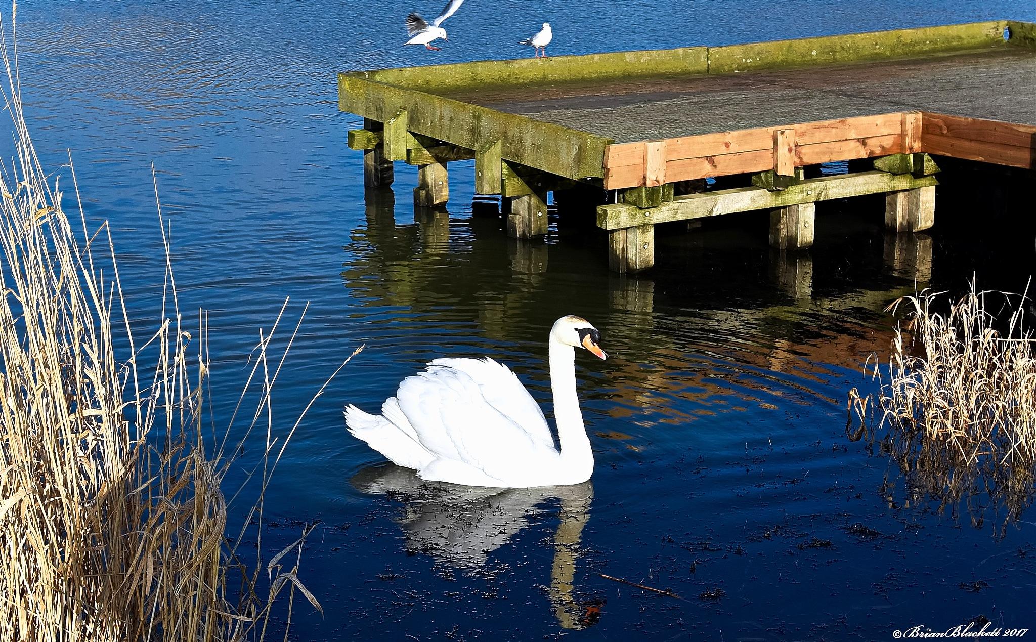 Swans by brianblackett