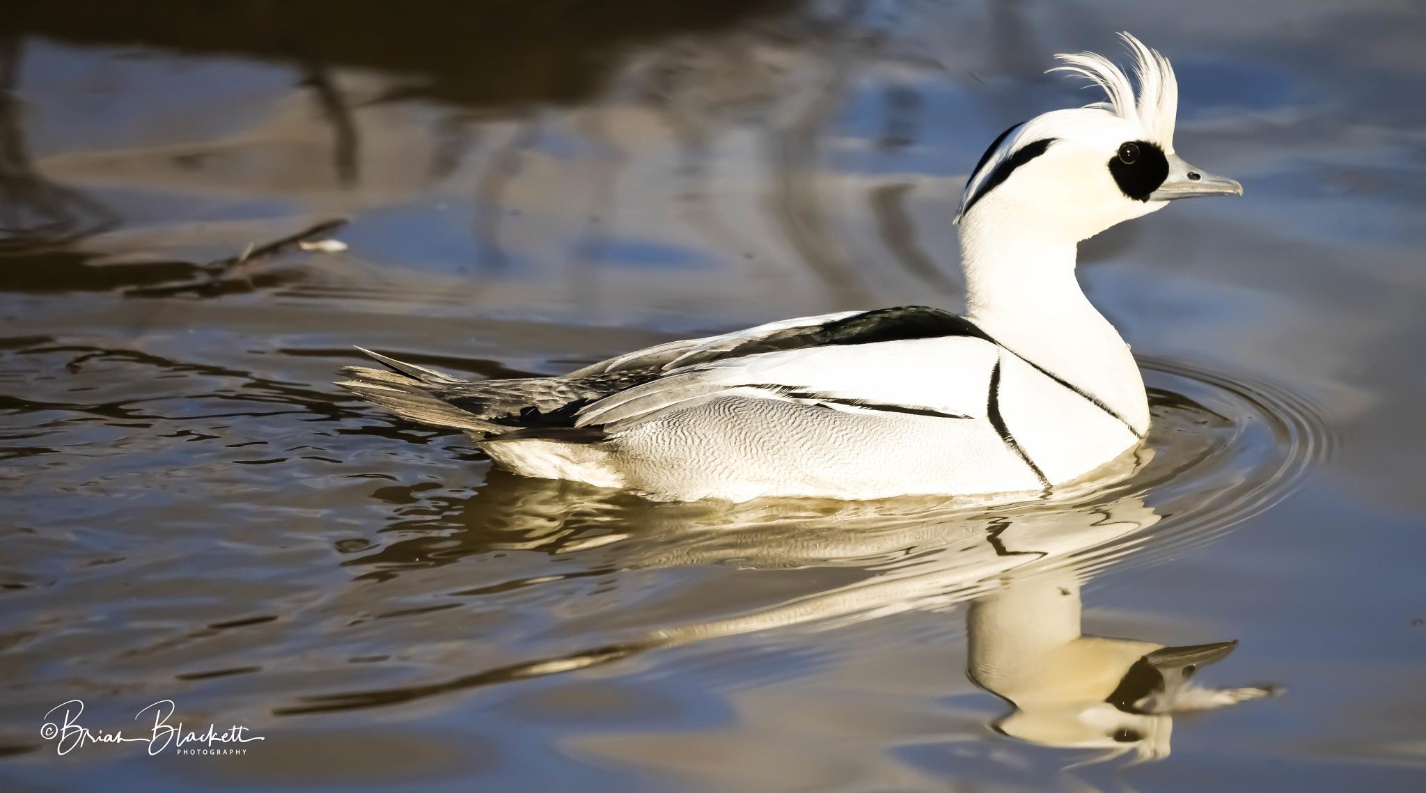 Smew Duck. by brianblackett