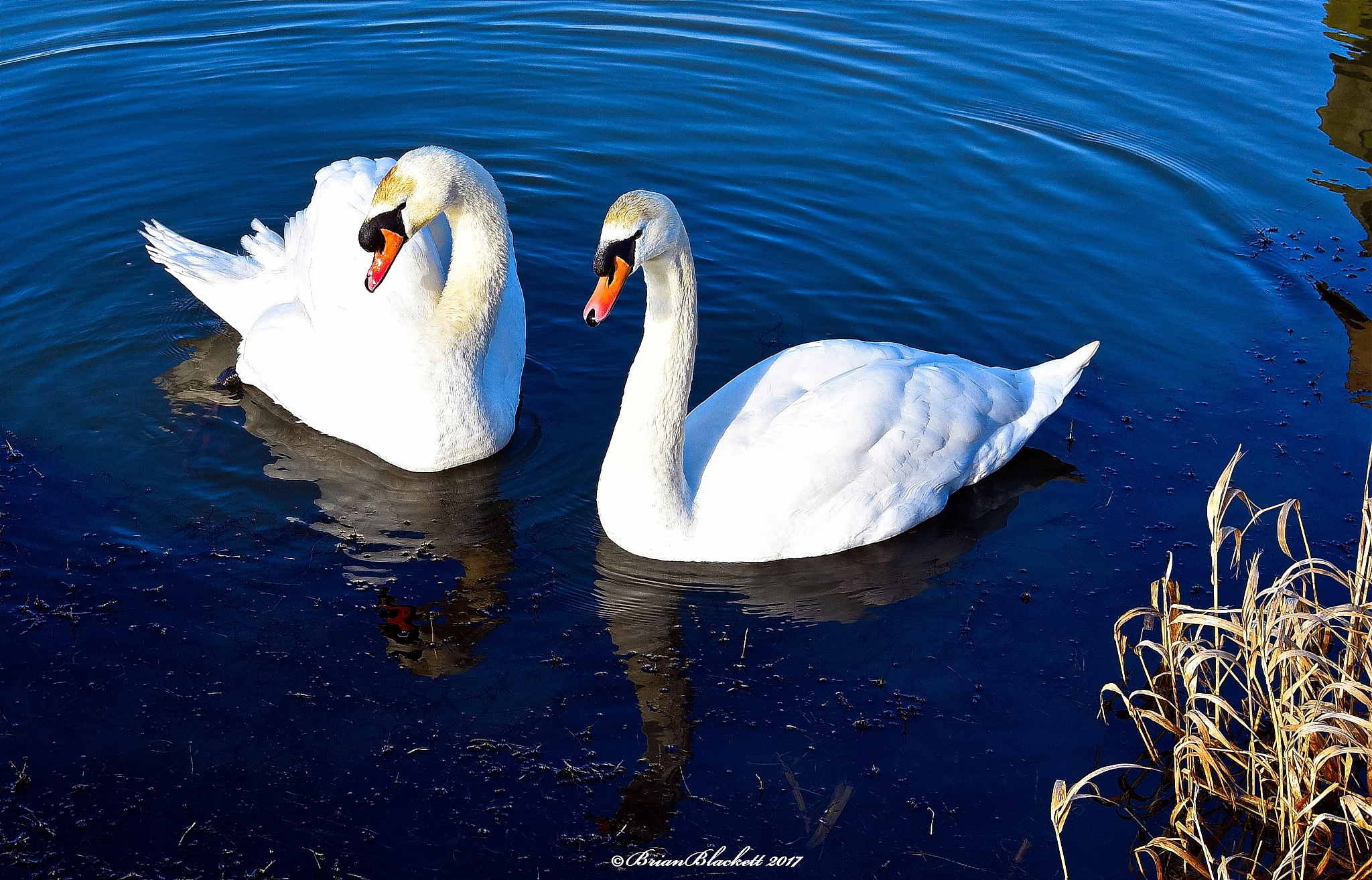 Swans by brianblackett