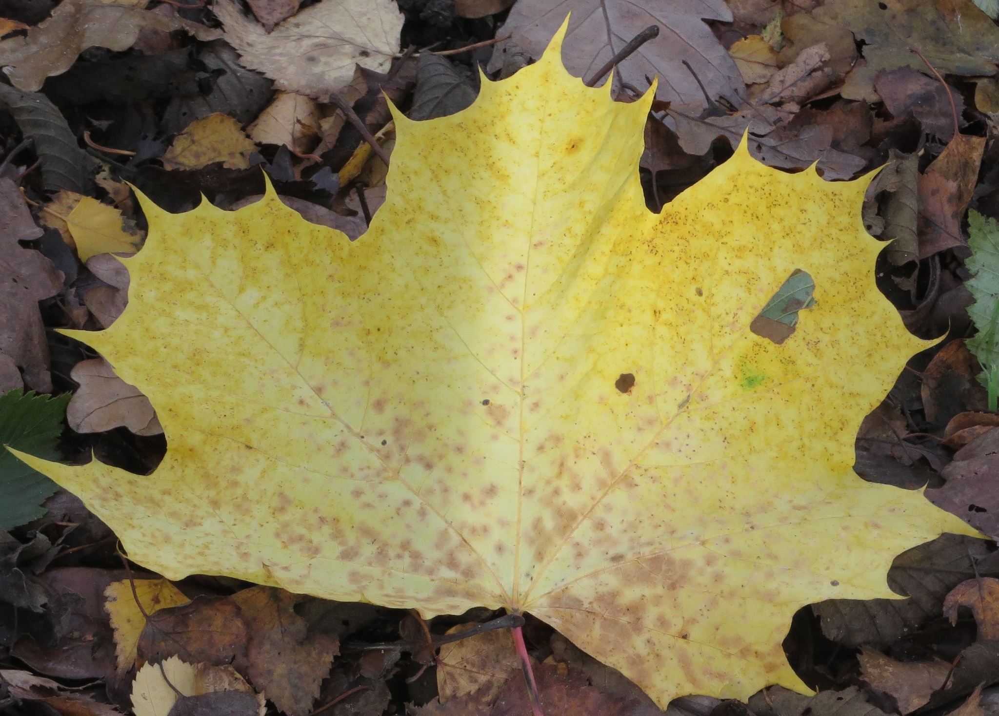 Leaf by Two Dogs Fightin'