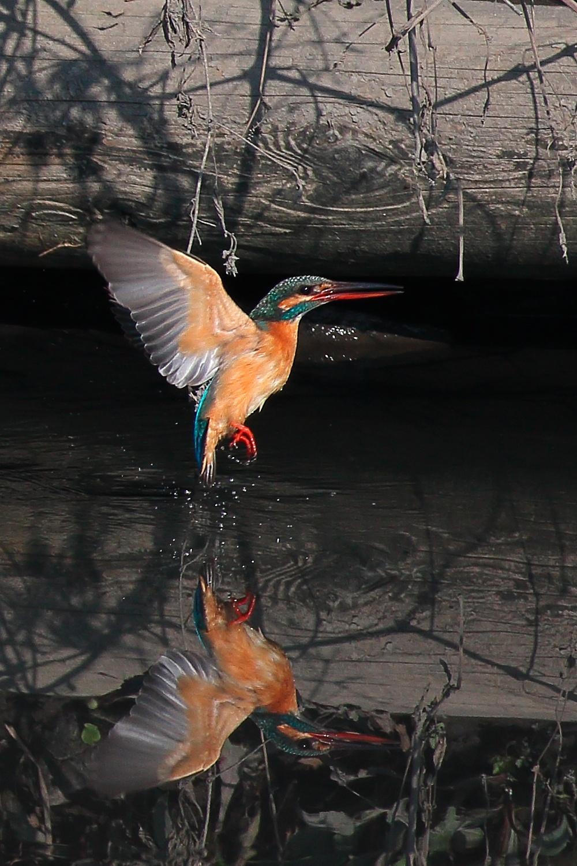Photo in Animal #bird #nature #kingfisher