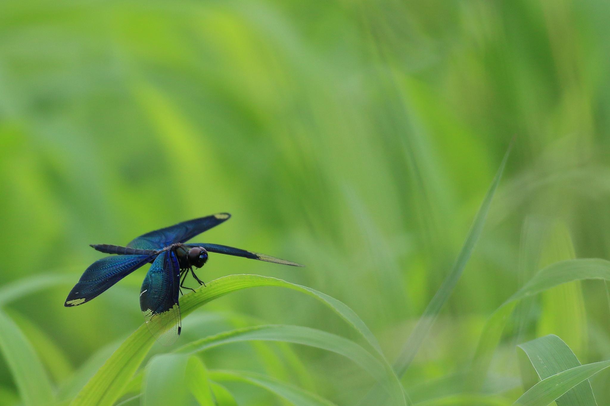 蝶蜻蛉 by Yoshiki Kamitsuji