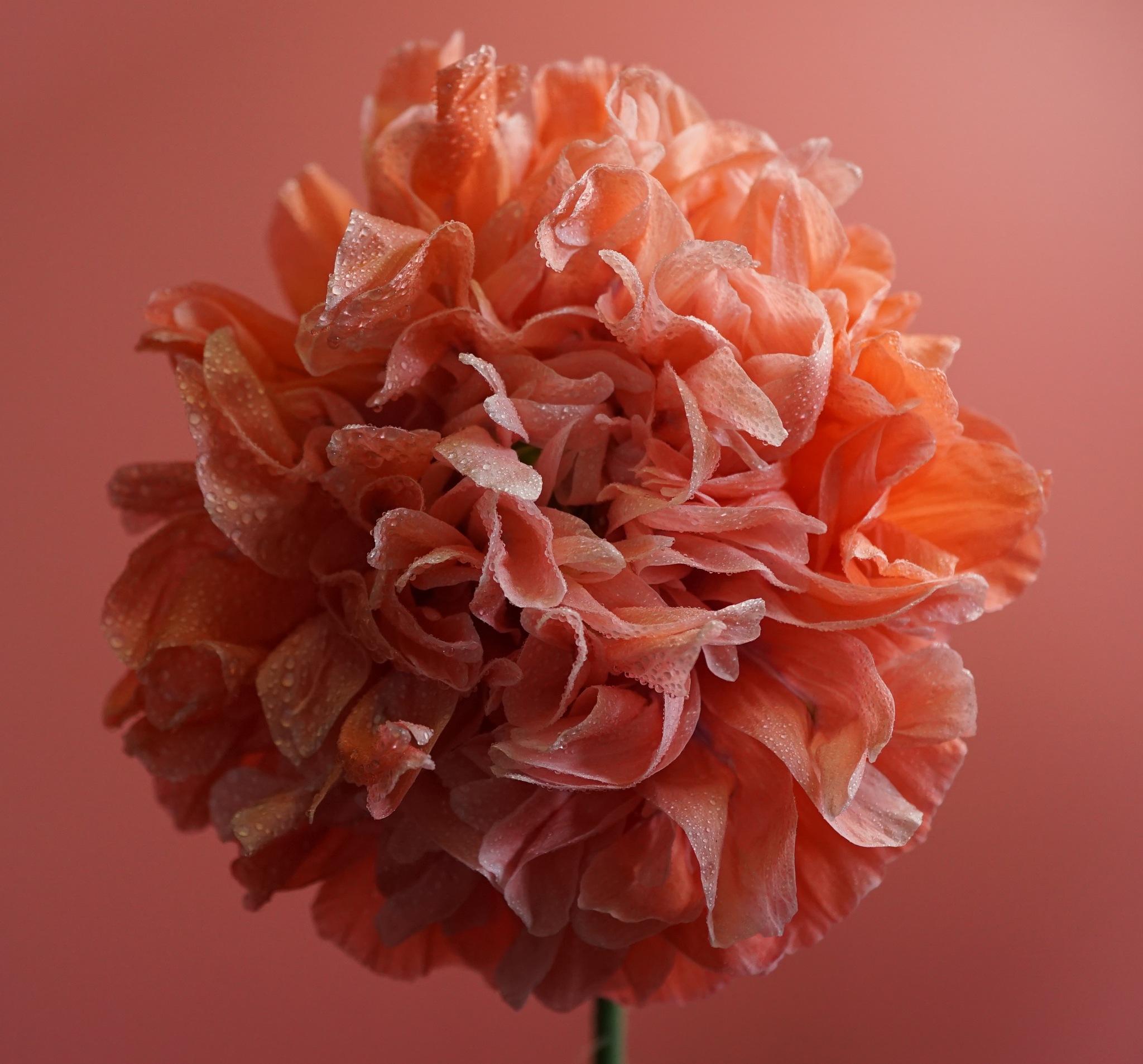 Poppy Mophead Wet by Gillian James