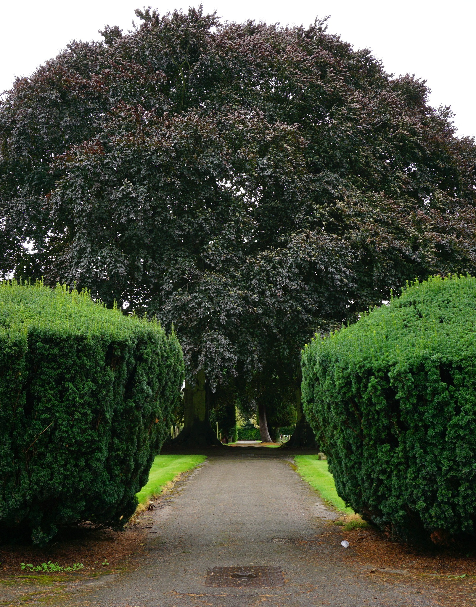 Yew and Copper Beech by Gillian James