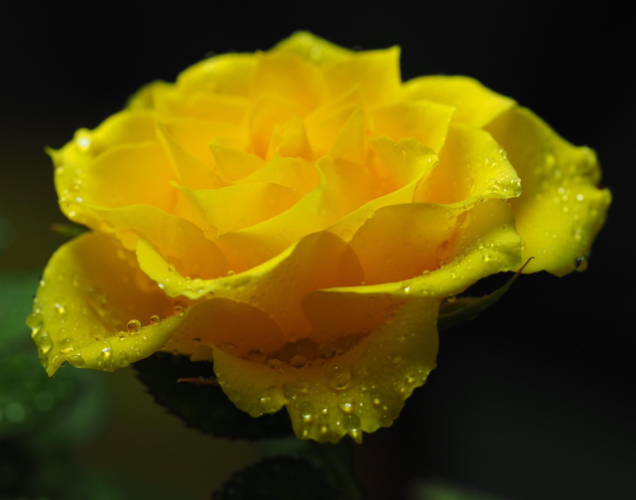 Yellow Petals and Water Drops by Gillian James