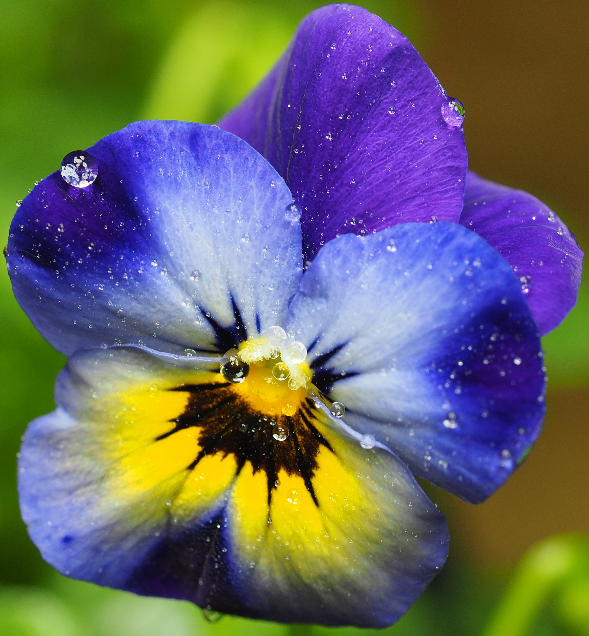 Violas - Little Faces - 2 by Gillian James