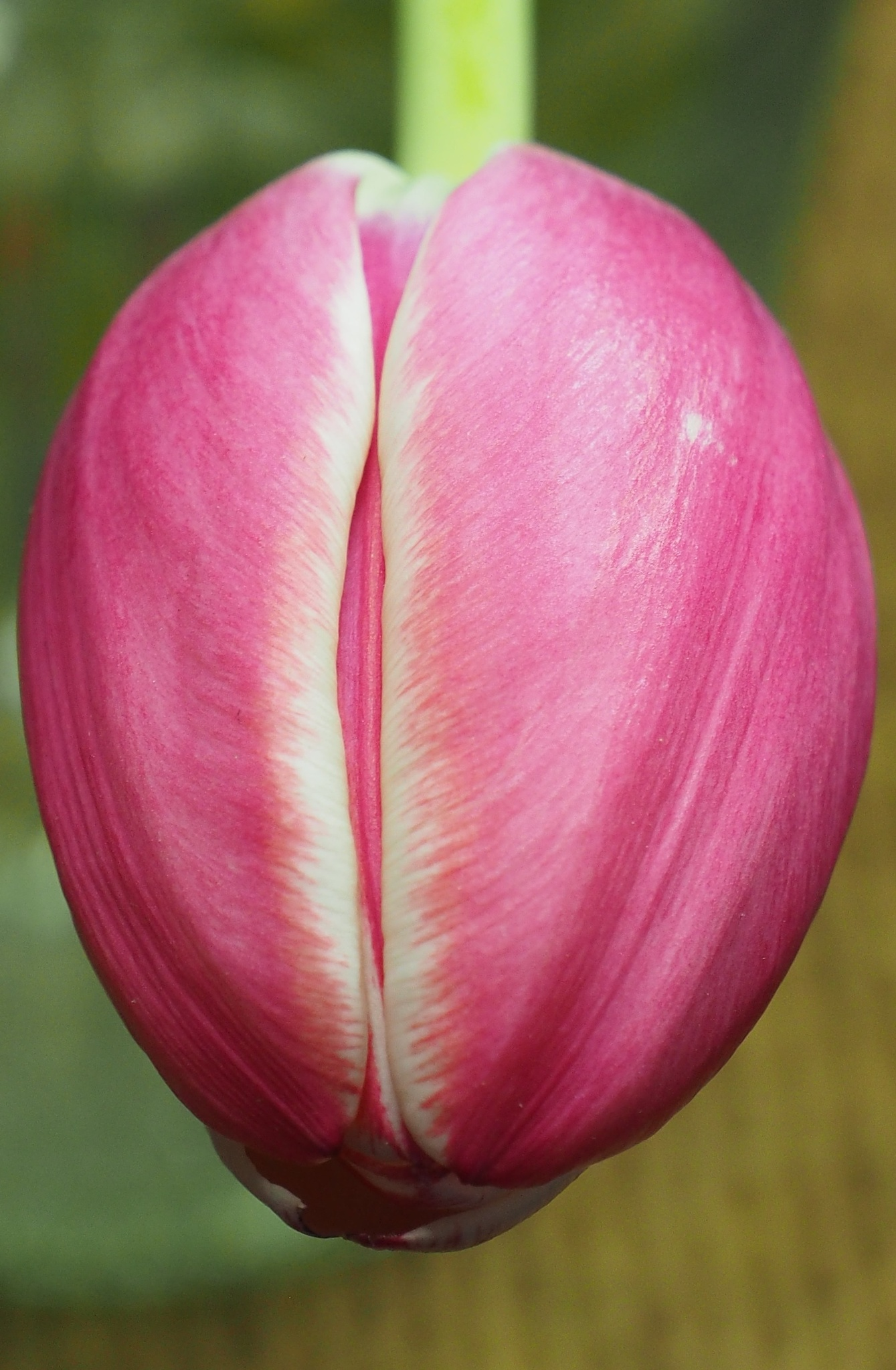 Pink Tulip Head by Gillian James