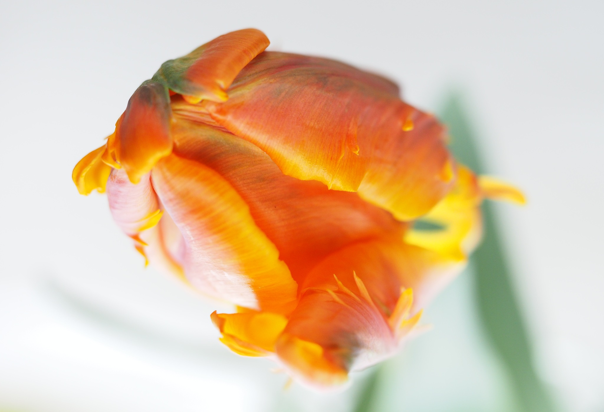 Orange Parrot Tulip From Above by Gillian James