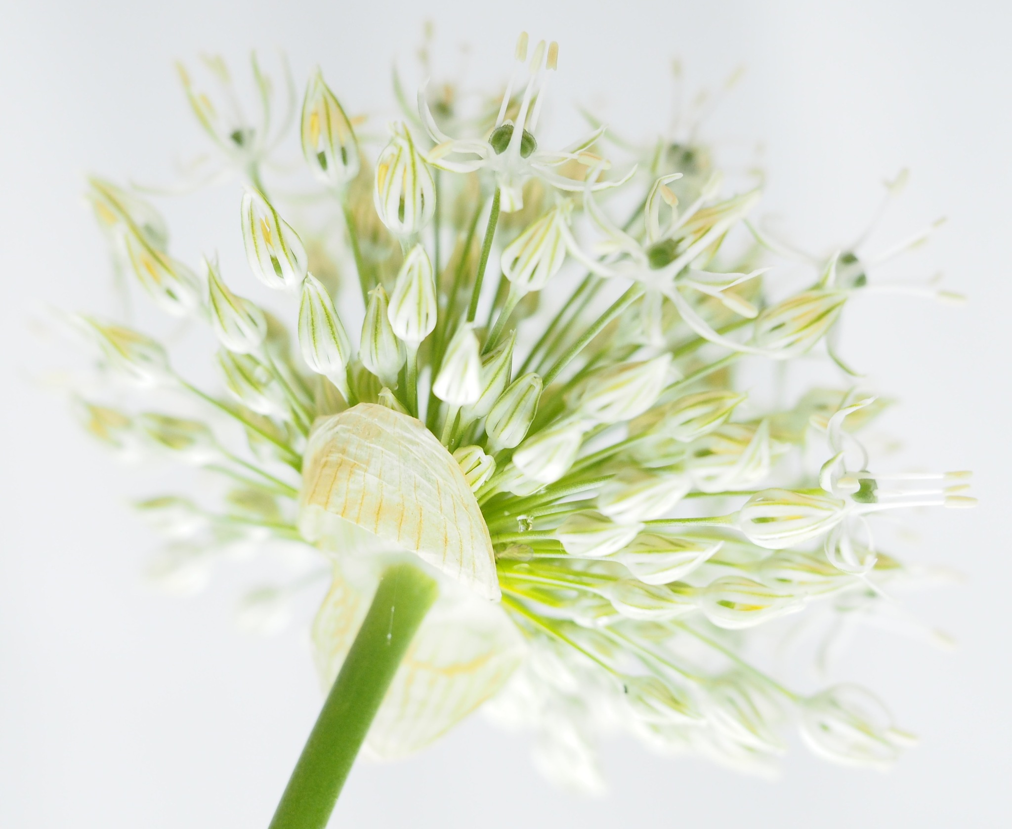 White Allium Popping Out by Gillian James