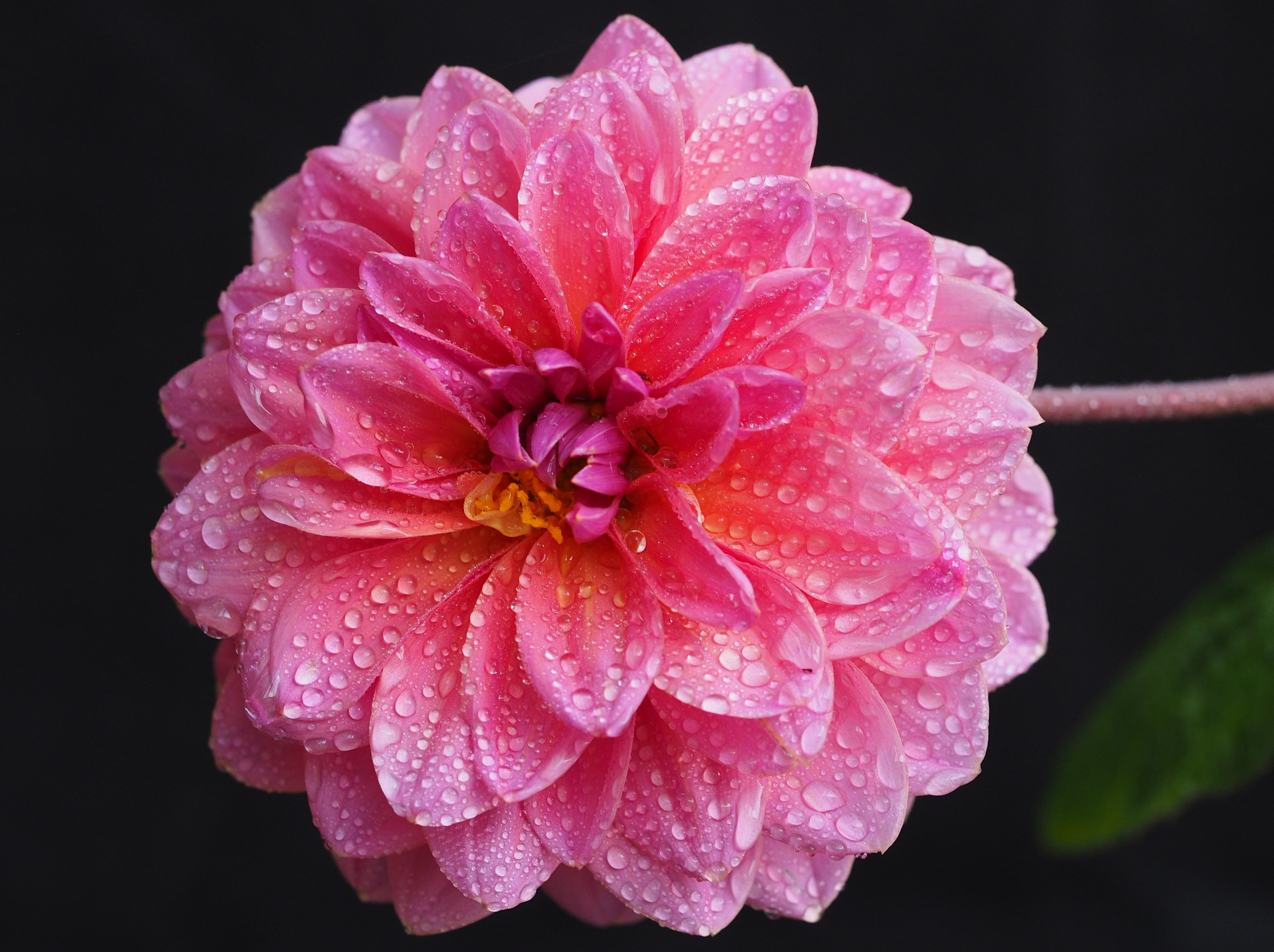 Drops of Pink by Gillian James