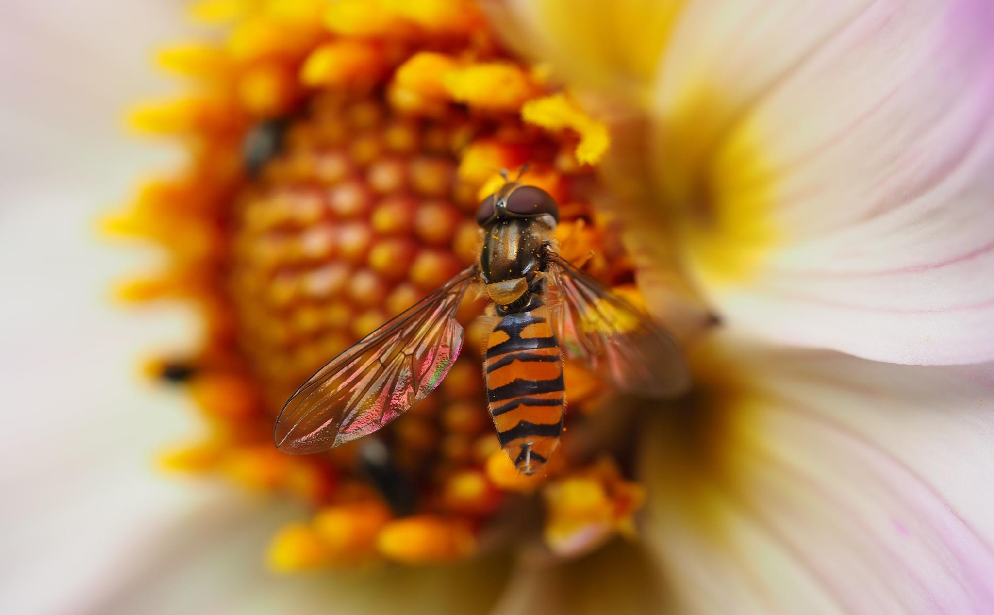 Hoverfly on Dahlia Centre by Gillian James