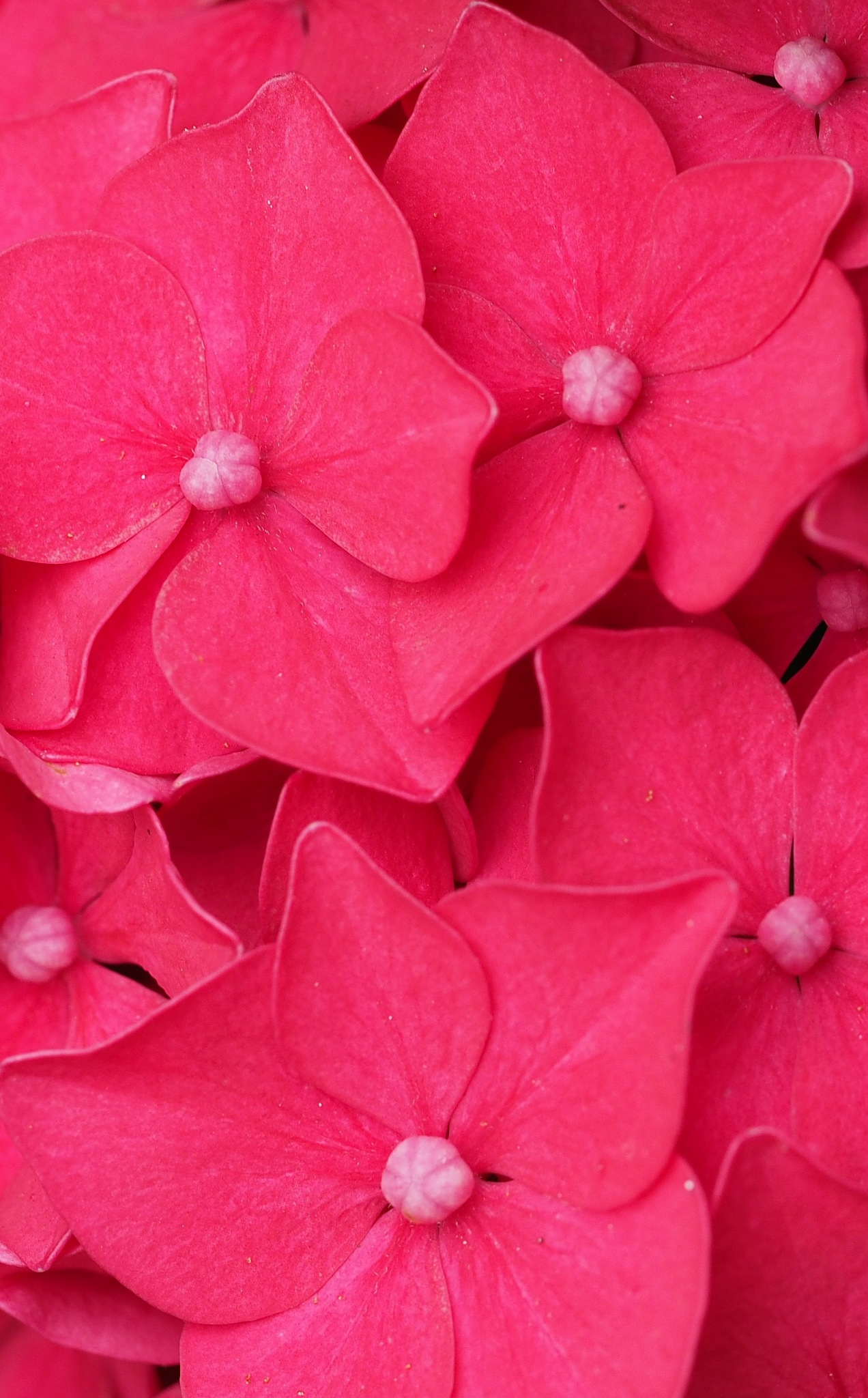 Pink Buttons by Gillian James