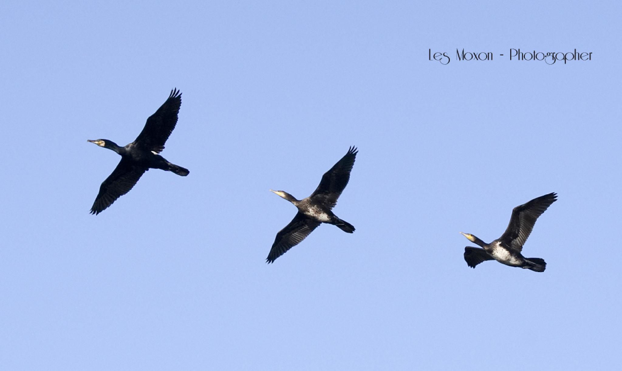 Cormorant Fly By by Les Moxon Photography
