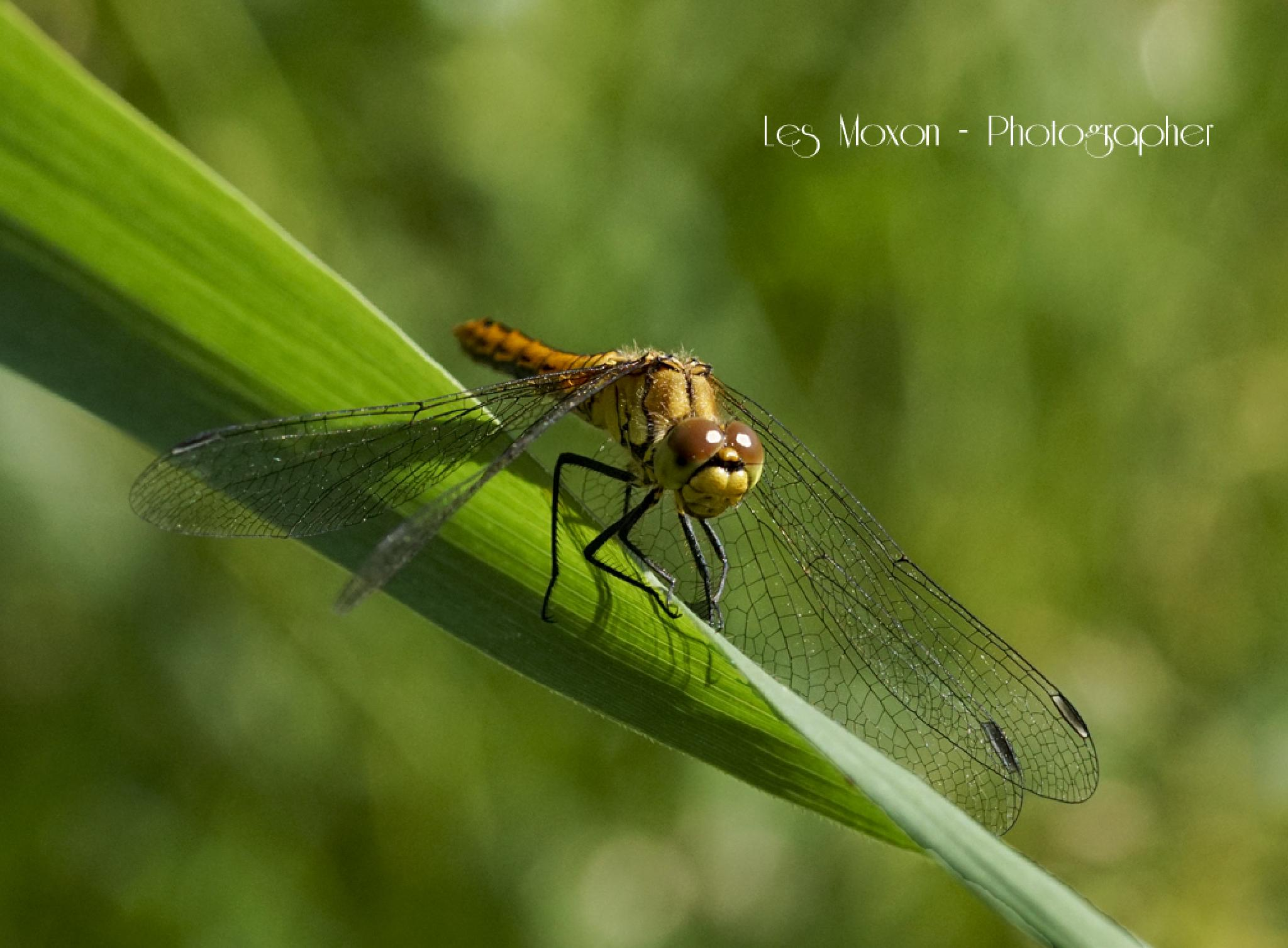 Dragonfly by Les Moxon Photography