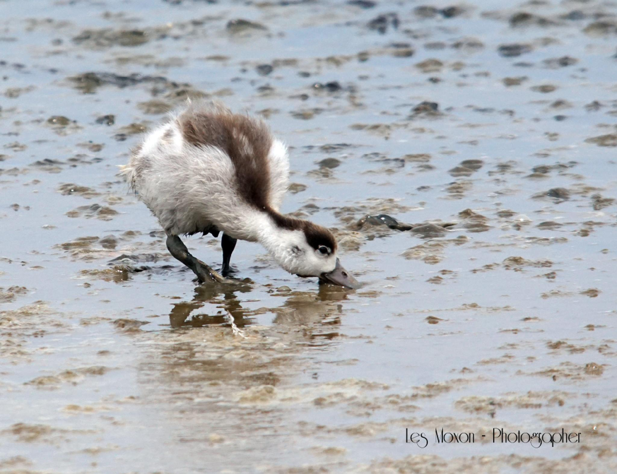Shelduck Chick by Les Moxon Photography